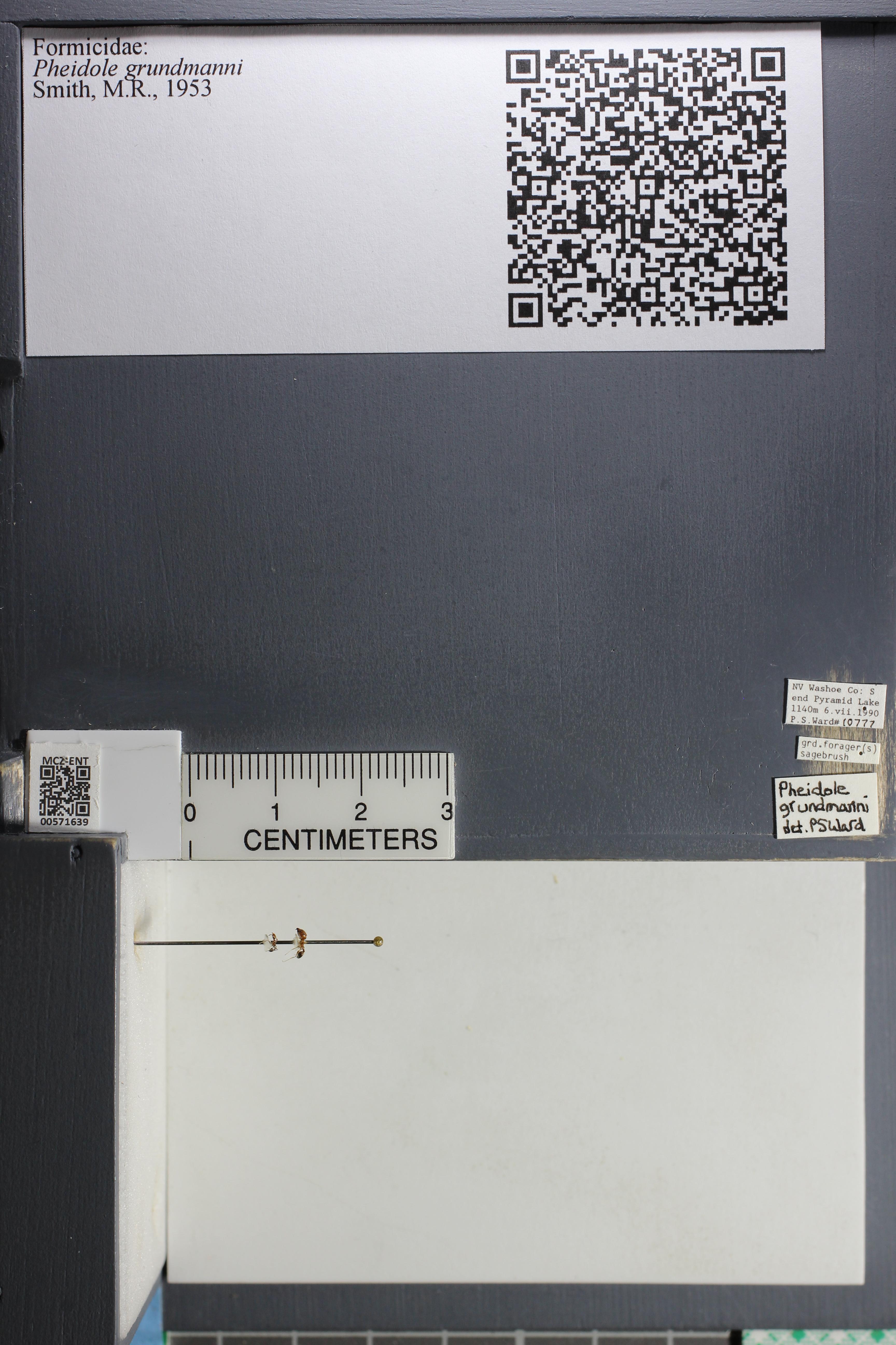 Media of type image, MCZ:Ent:571639 Identified as Pheidole grundmanni.