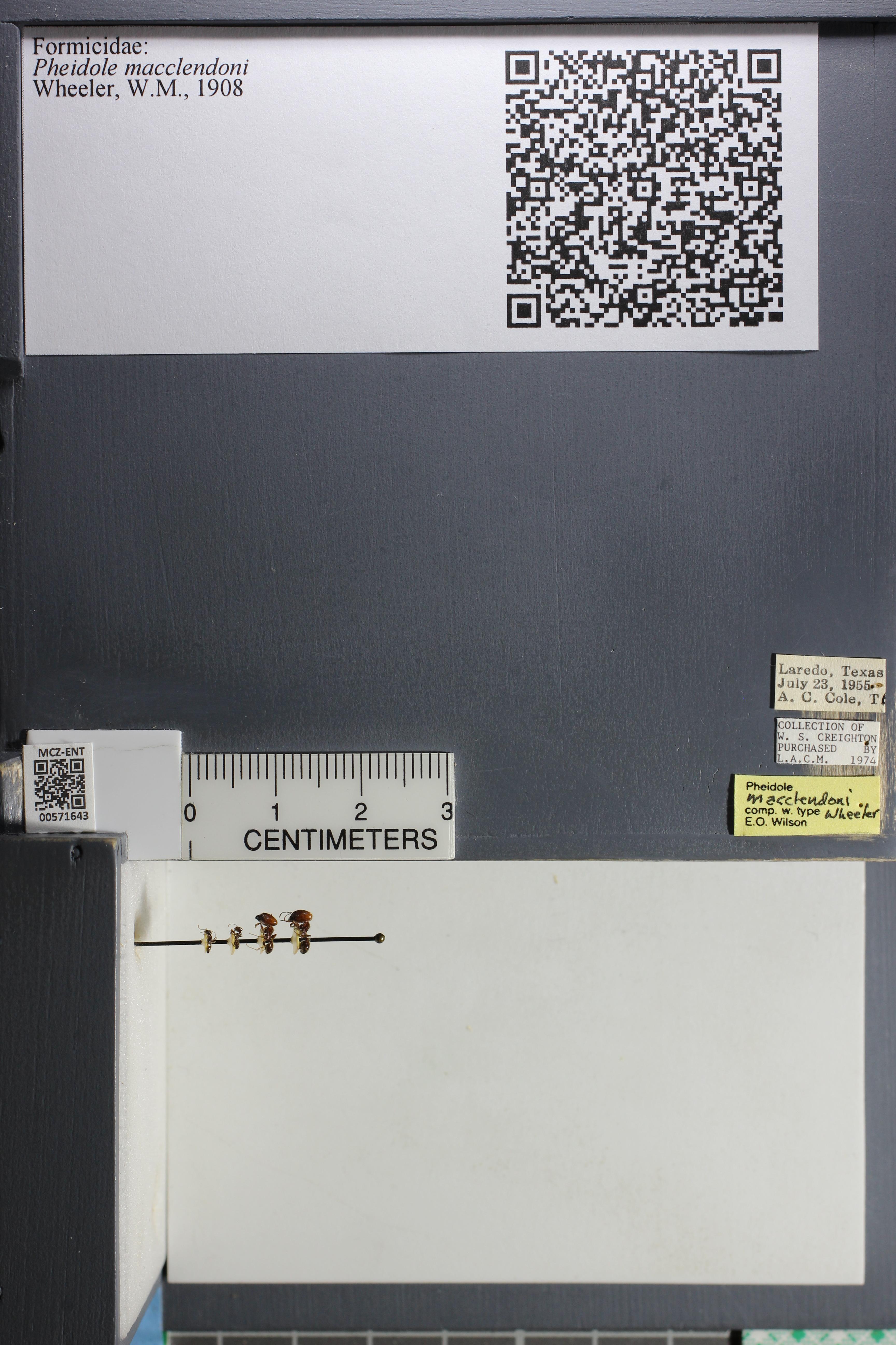 Media of type image, MCZ:Ent:571643 Identified as Pheidole macclendoni.