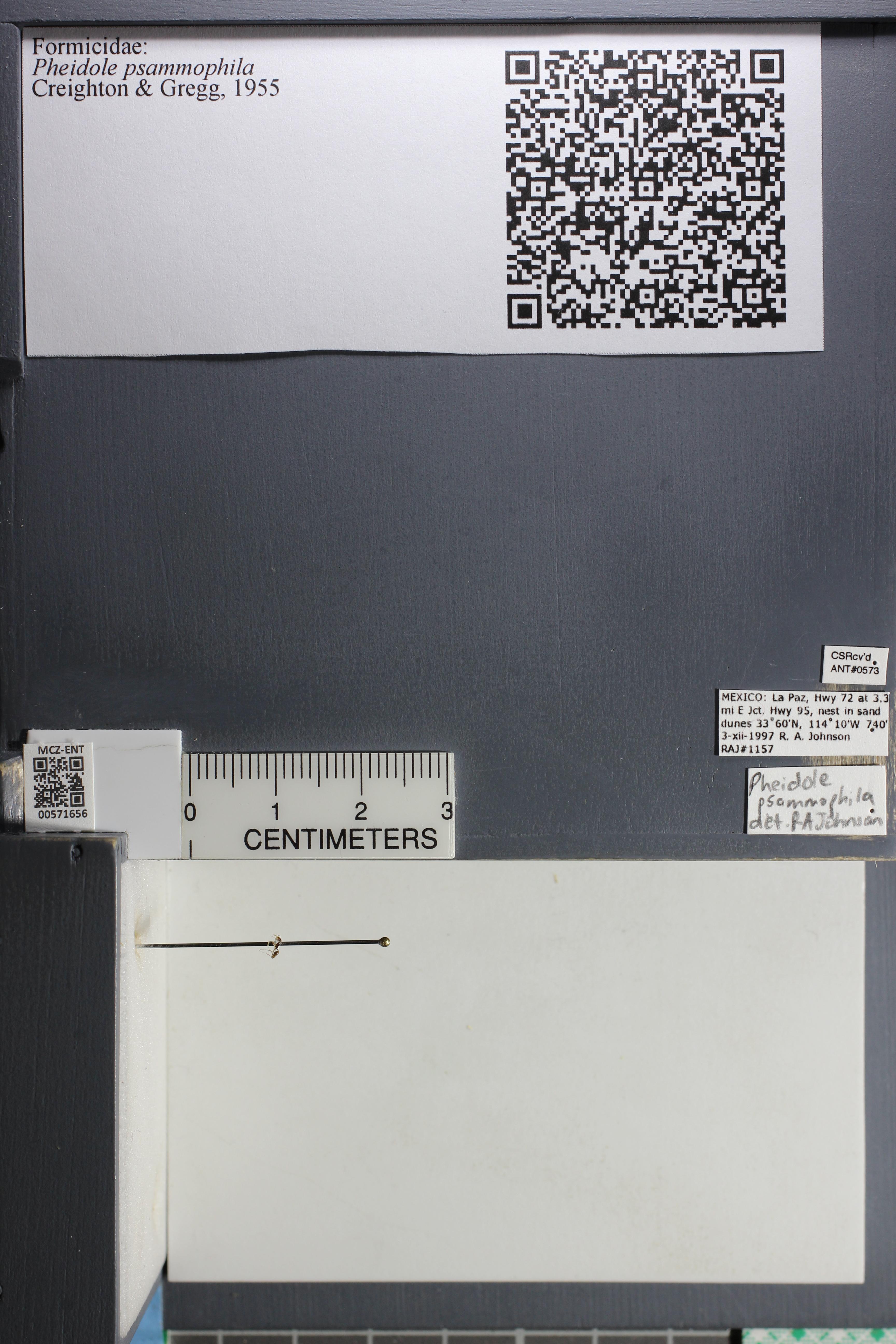 Media of type image, MCZ:Ent:571656 Identified as Pheidole psammophila.