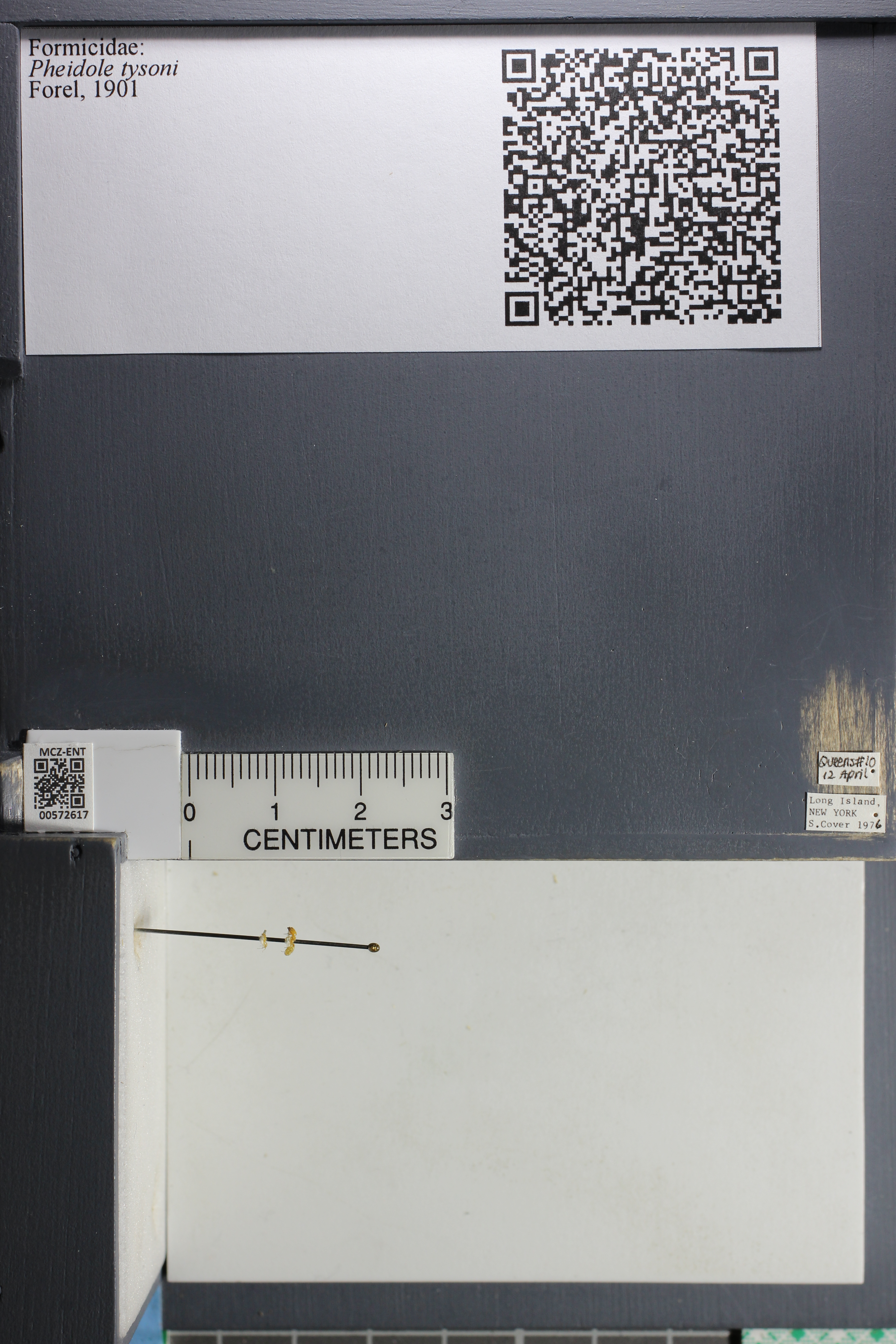 Media of type image, MCZ:Ent:572617 Identified as Pheidole tysoni.
