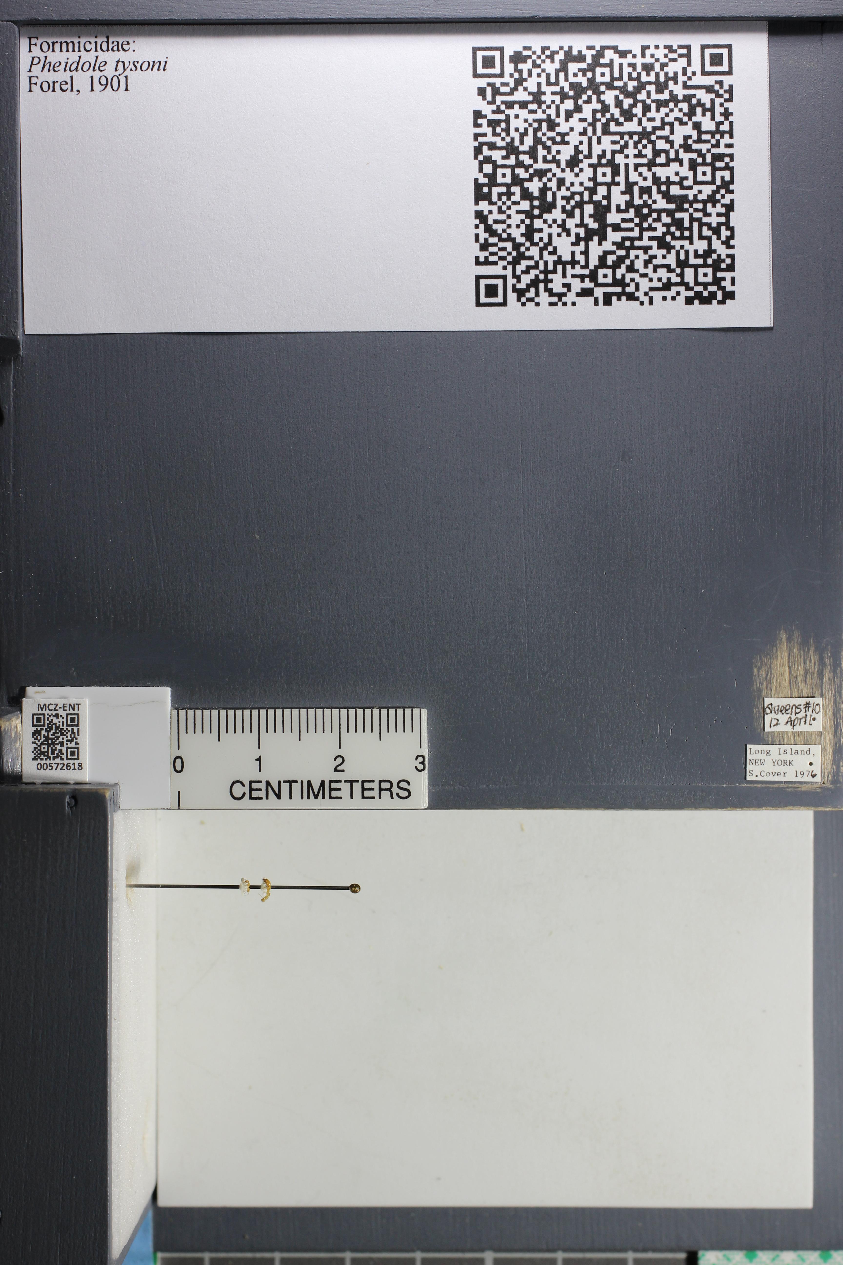 Media of type image, MCZ:Ent:572618 Identified as Pheidole tysoni.