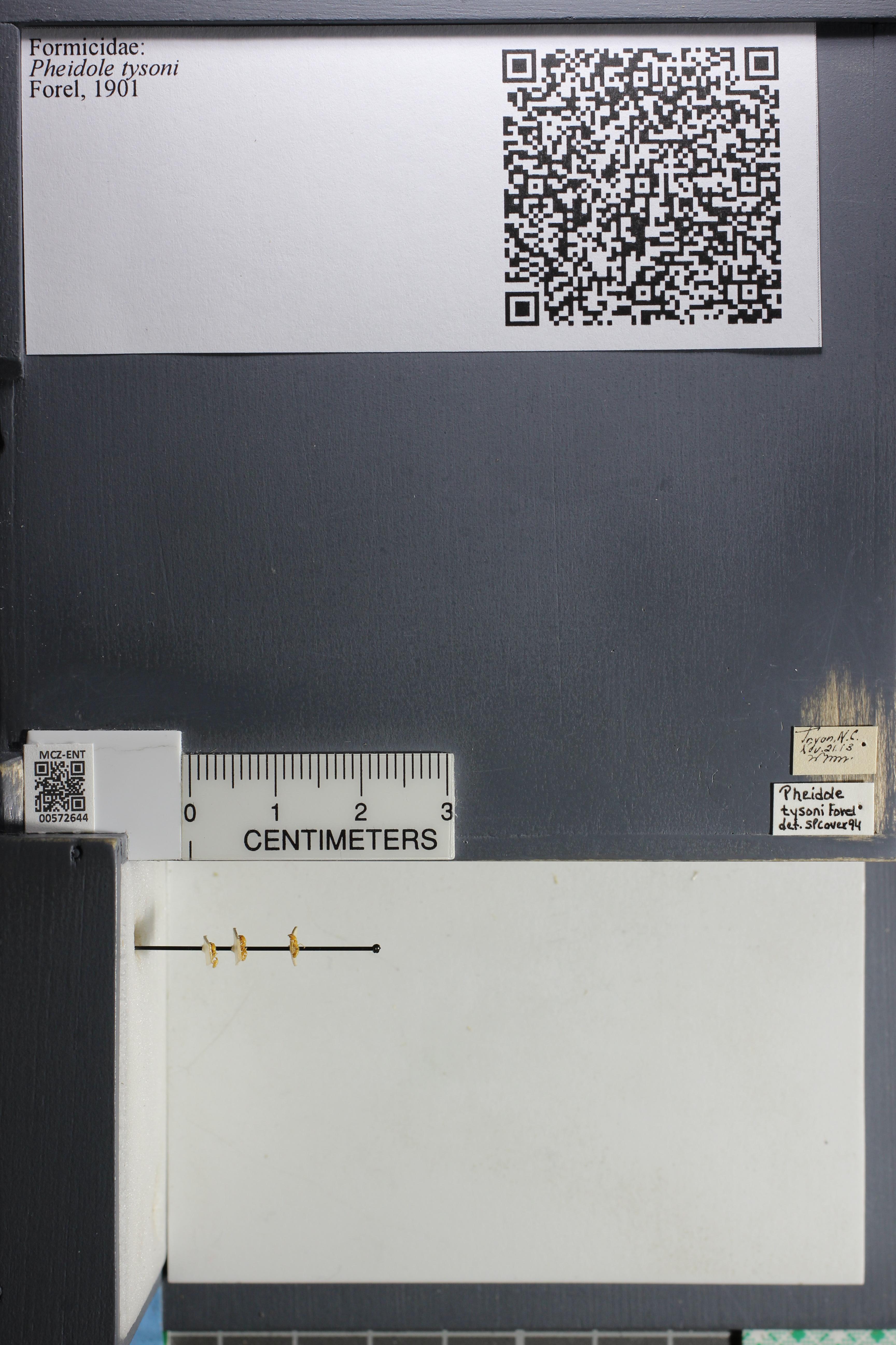 Media of type image, MCZ:Ent:572644 Identified as Pheidole tysoni.