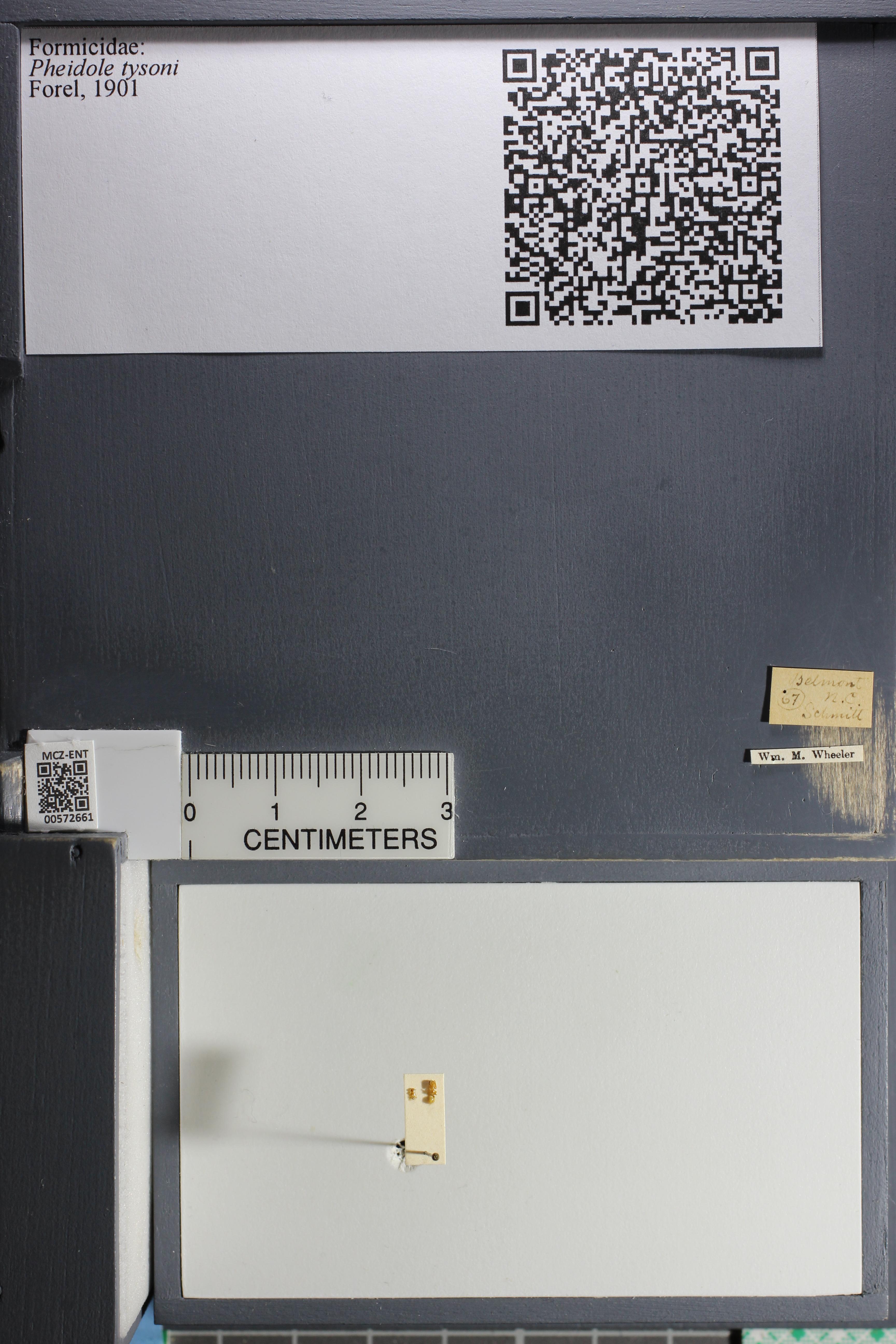 Media of type image, MCZ:Ent:572661 Identified as Pheidole tysoni.