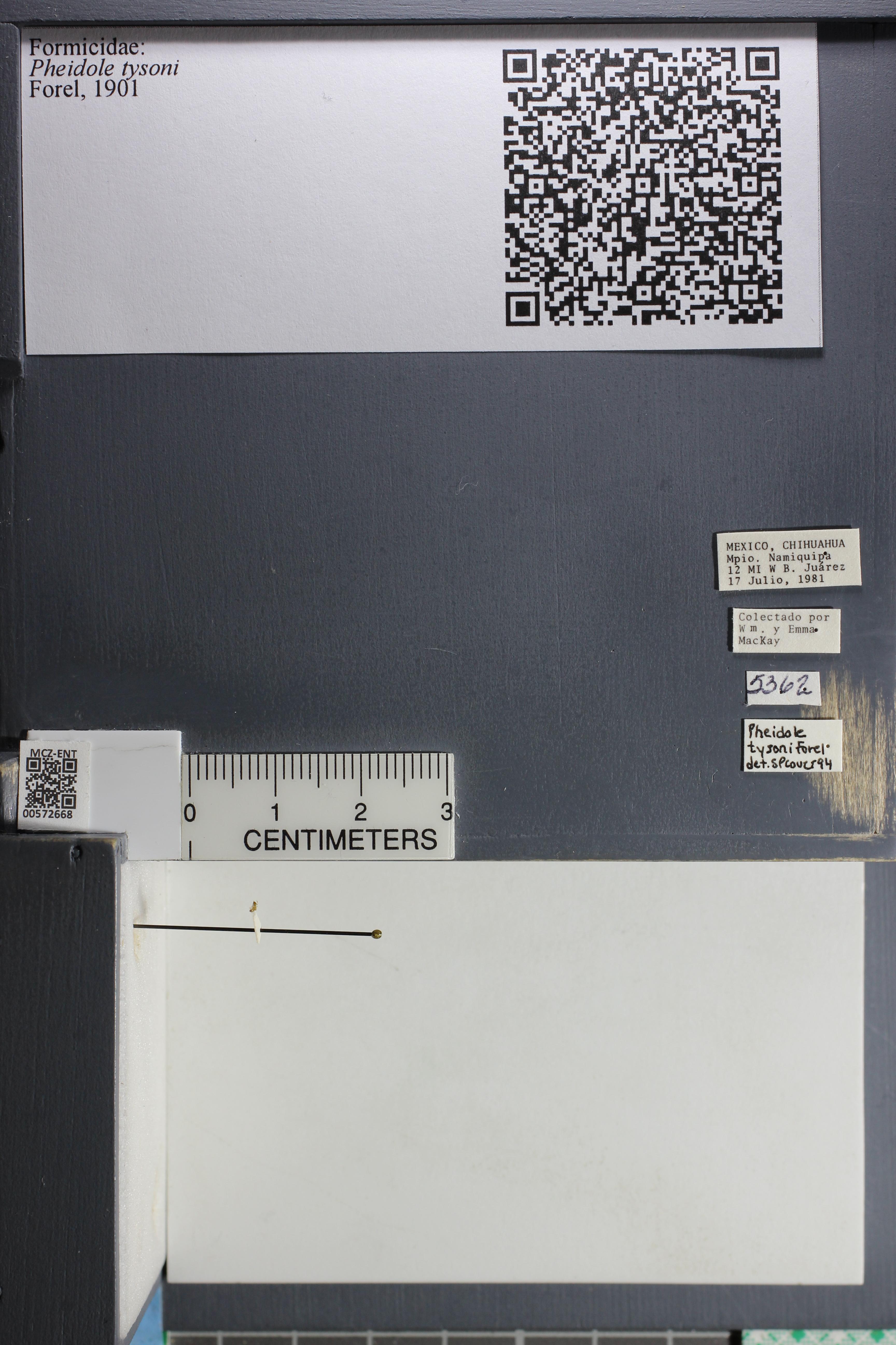 Media of type image, MCZ:Ent:572668 Identified as Pheidole tysoni.