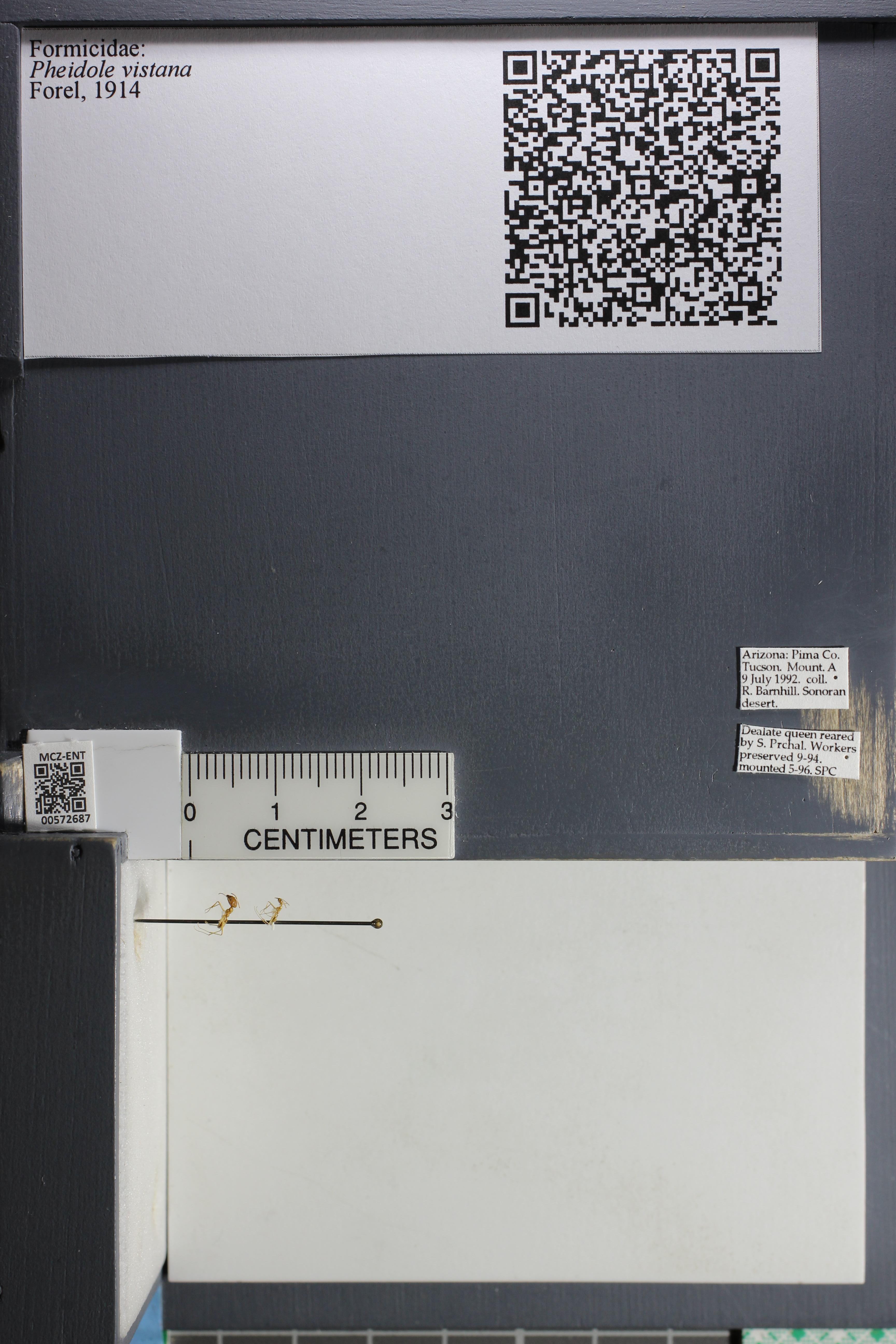 Media of type image, MCZ:Ent:572687 Identified as Pheidole vistana.