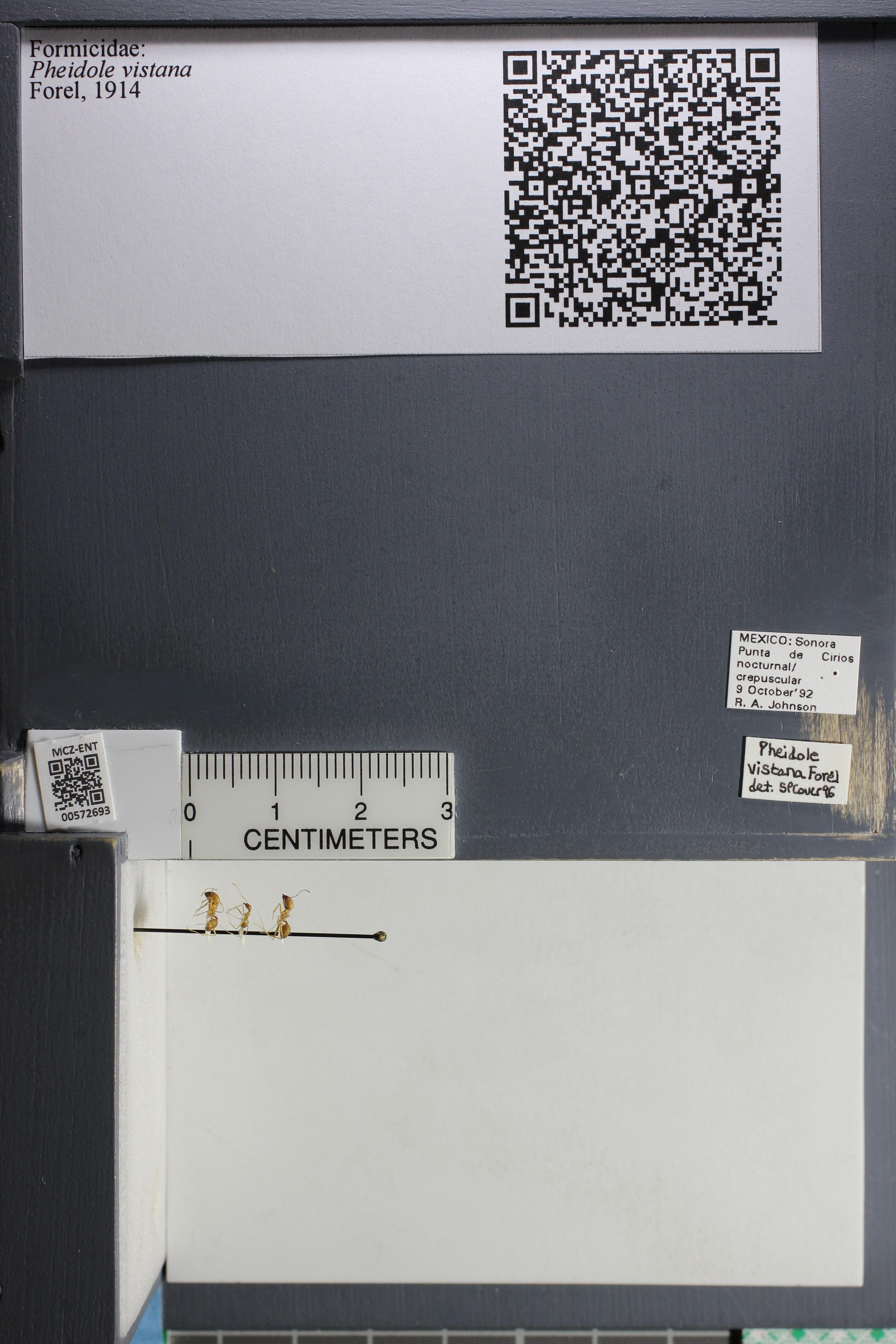 Media of type image, MCZ:Ent:572693 Identified as Pheidole vistana.