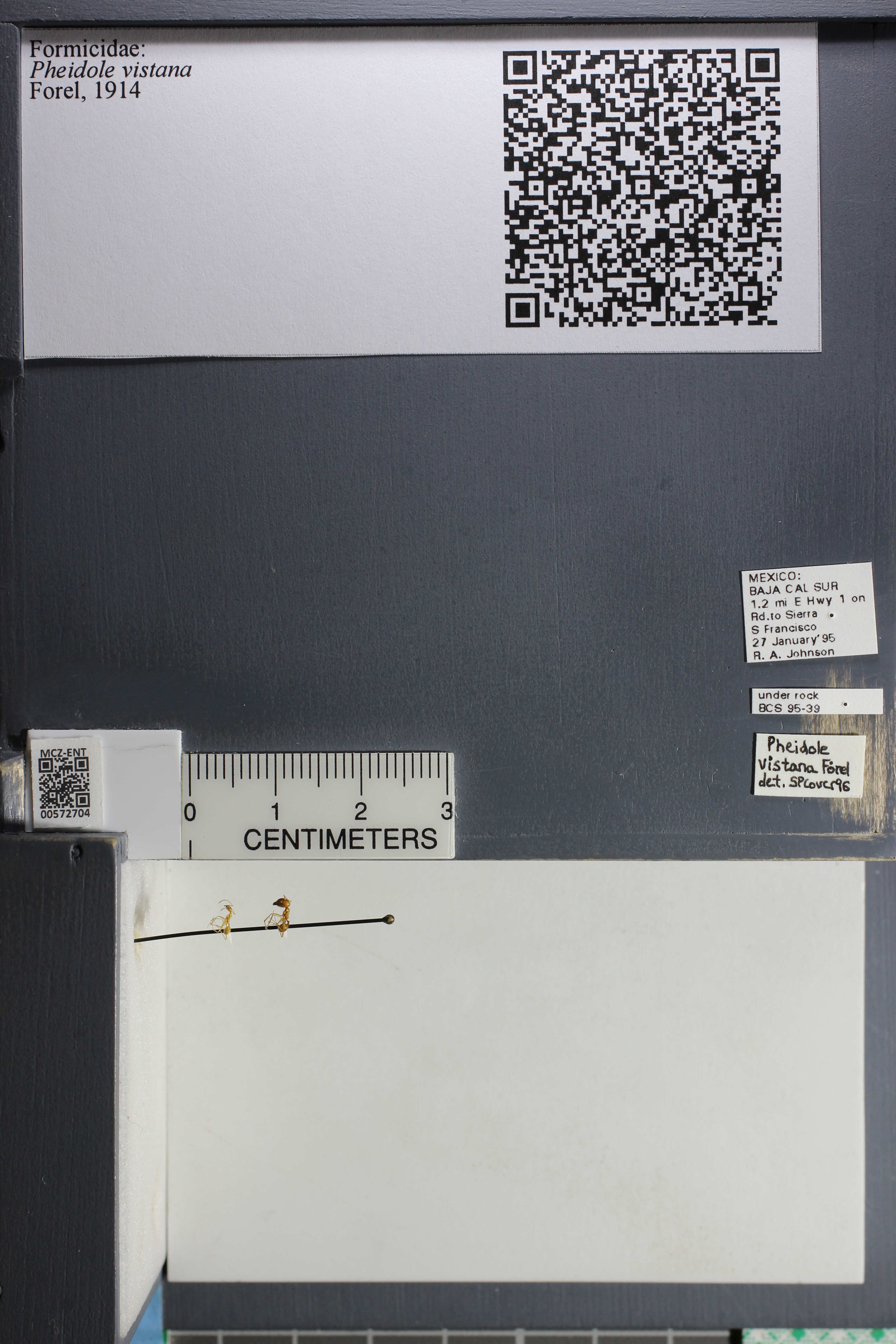 Media of type image, MCZ:Ent:572704 Identified as Pheidole vistana.