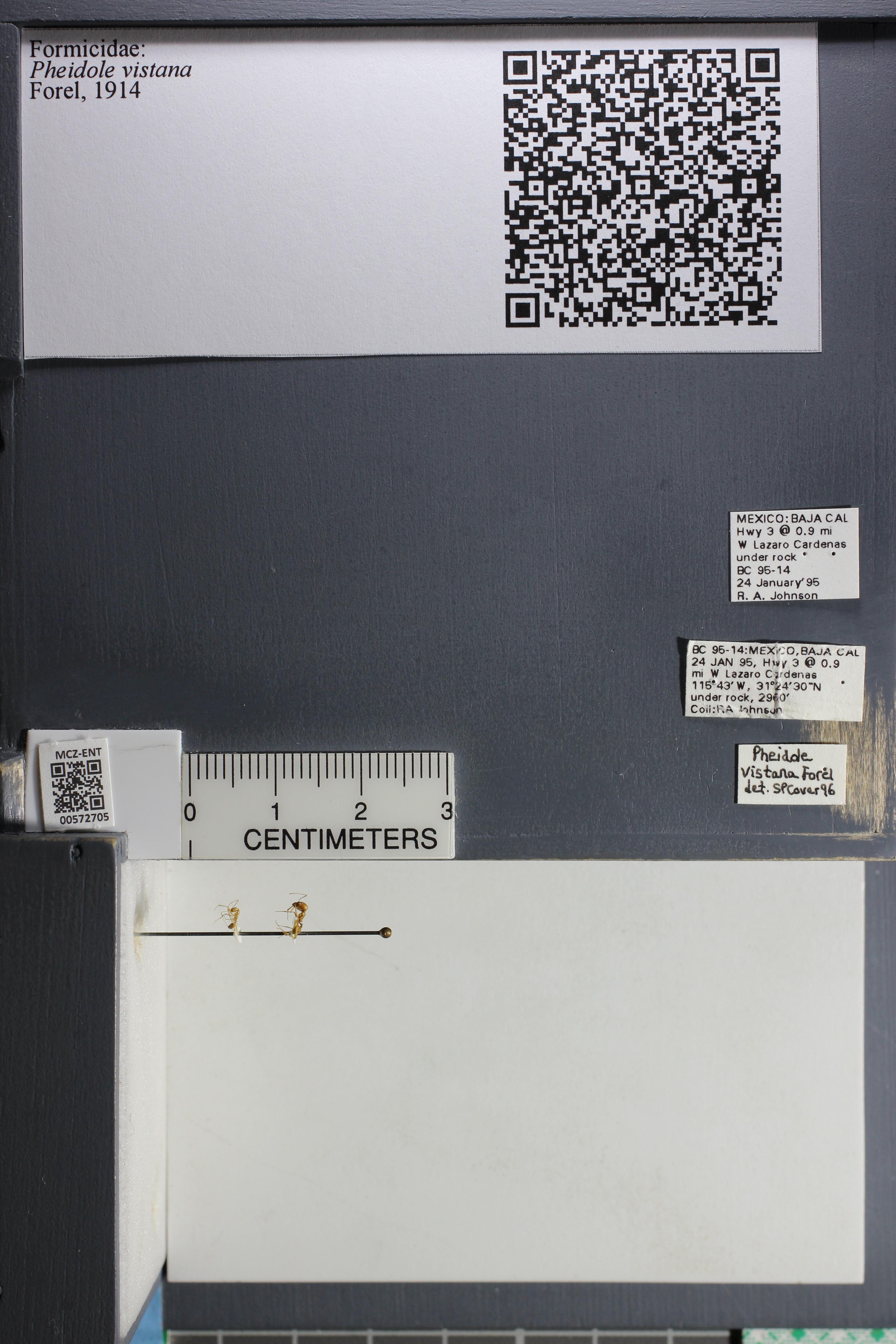 Media of type image, MCZ:Ent:572705 Identified as Pheidole vistana.