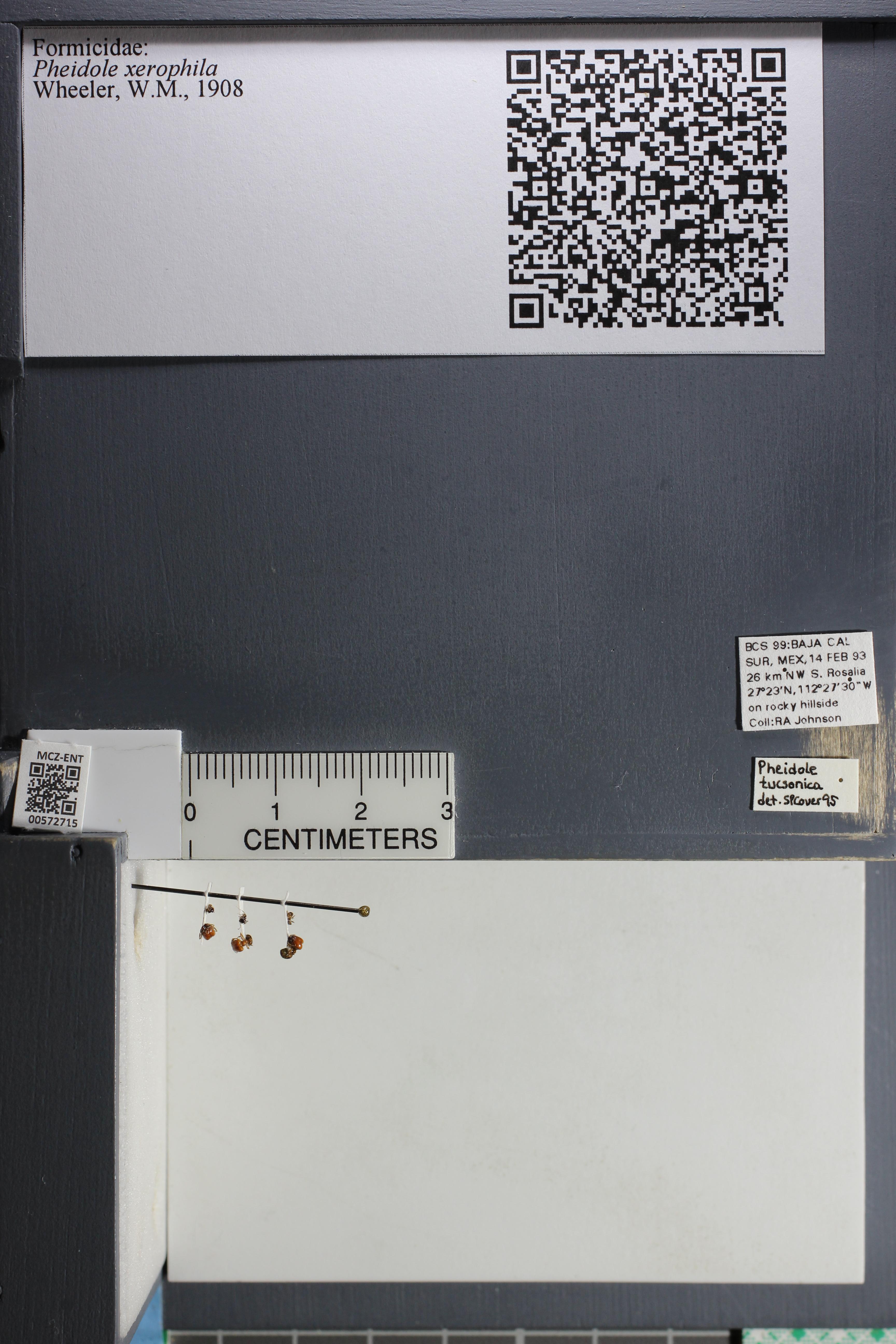 Media of type image, MCZ:Ent:572715 Identified as Pheidole xerophila.