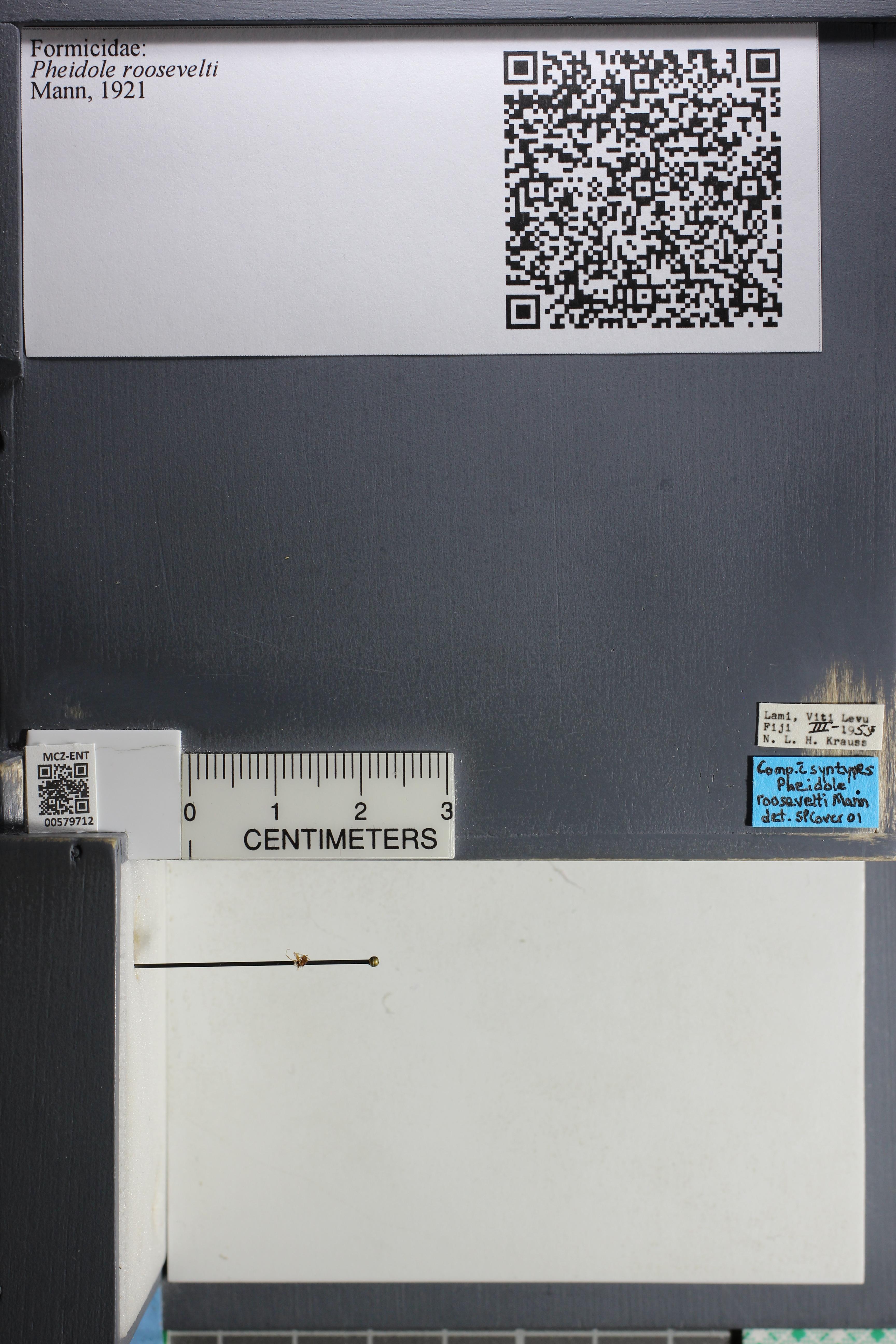 Media of type image, MCZ:Ent:579712 Identified as Pheidole roosevelti.