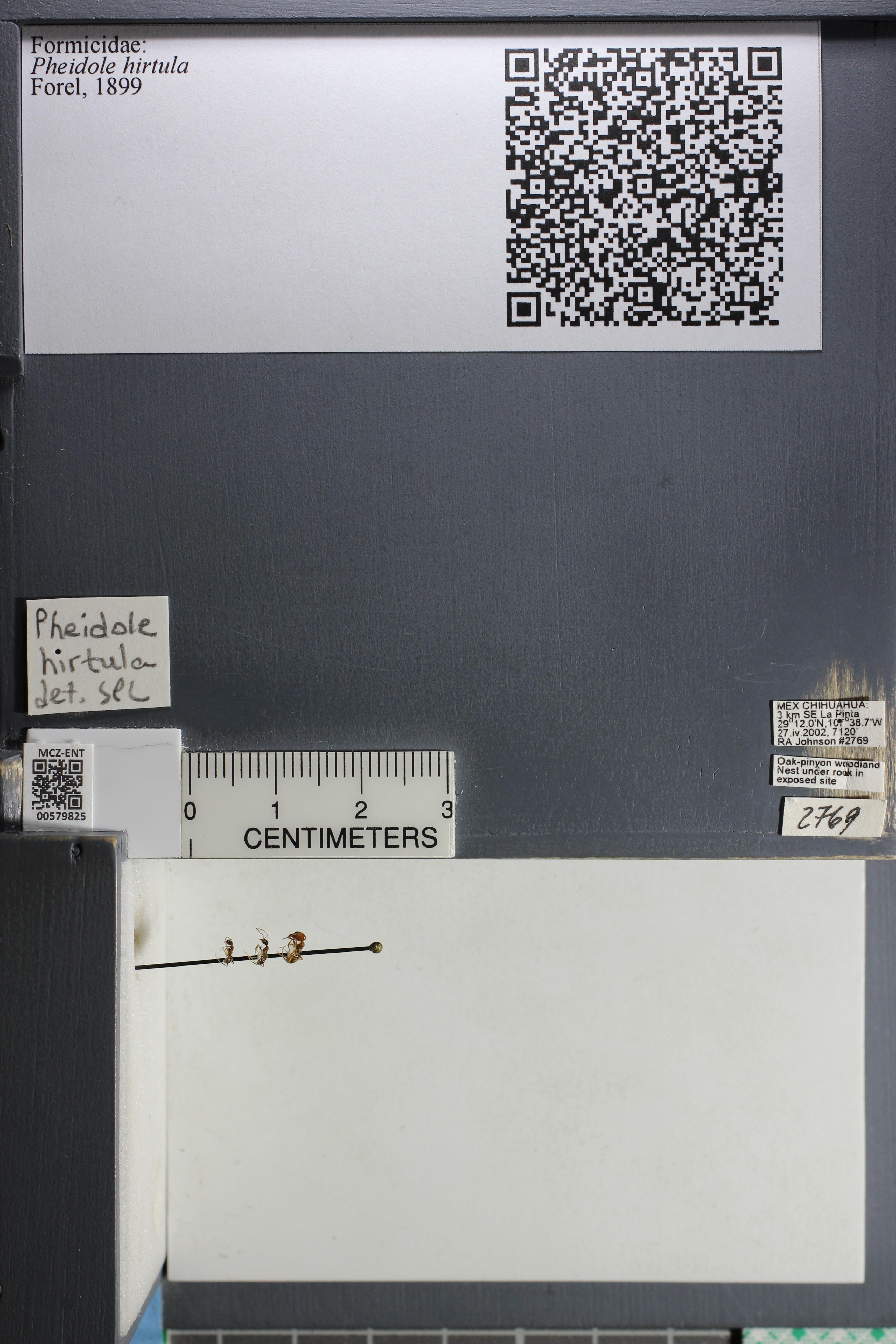 Media of type image, MCZ:Ent:579825 Identified as Pheidole hirtula.