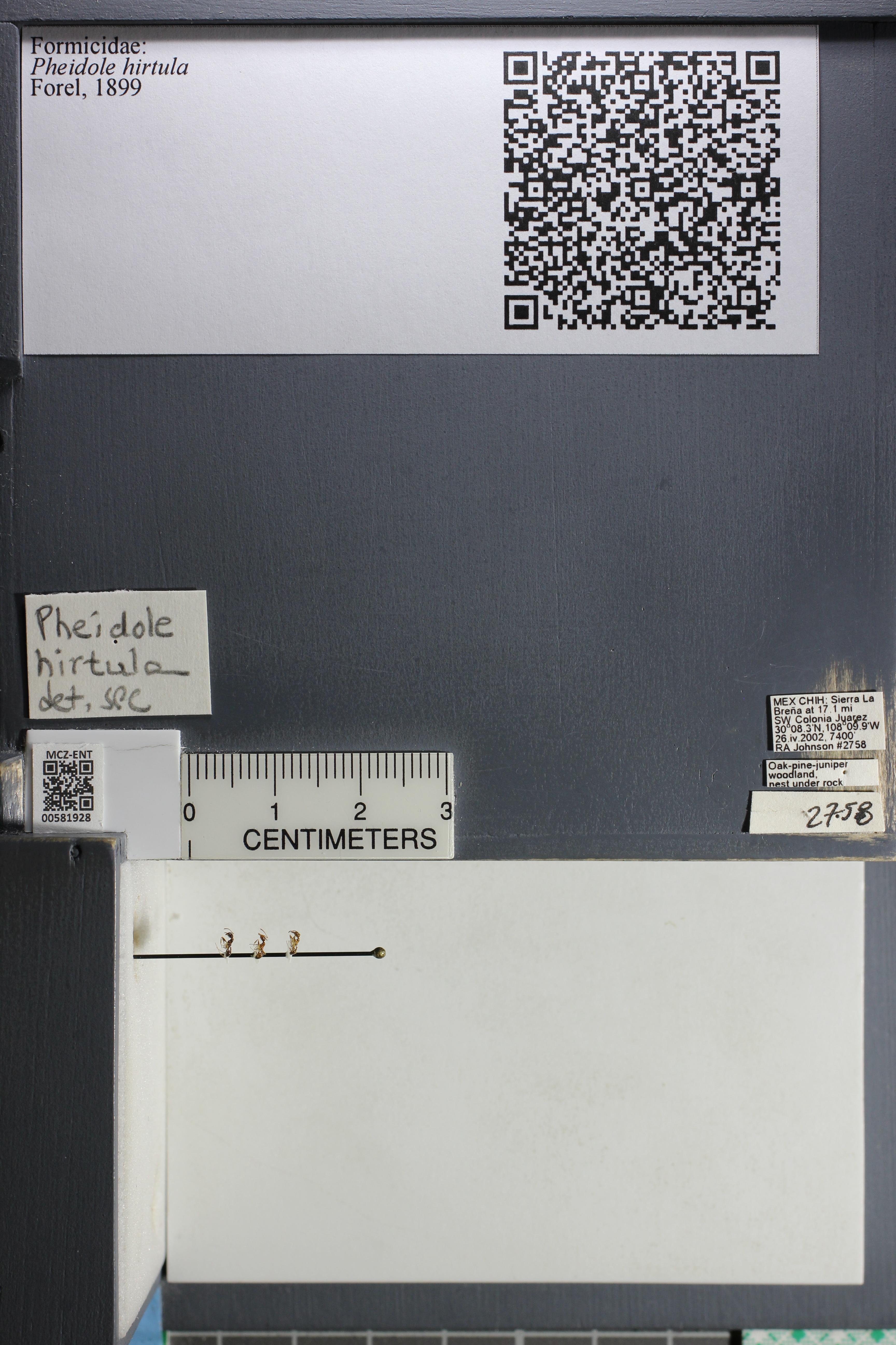 Media of type image, MCZ:Ent:581928 Identified as Pheidole hirtula.