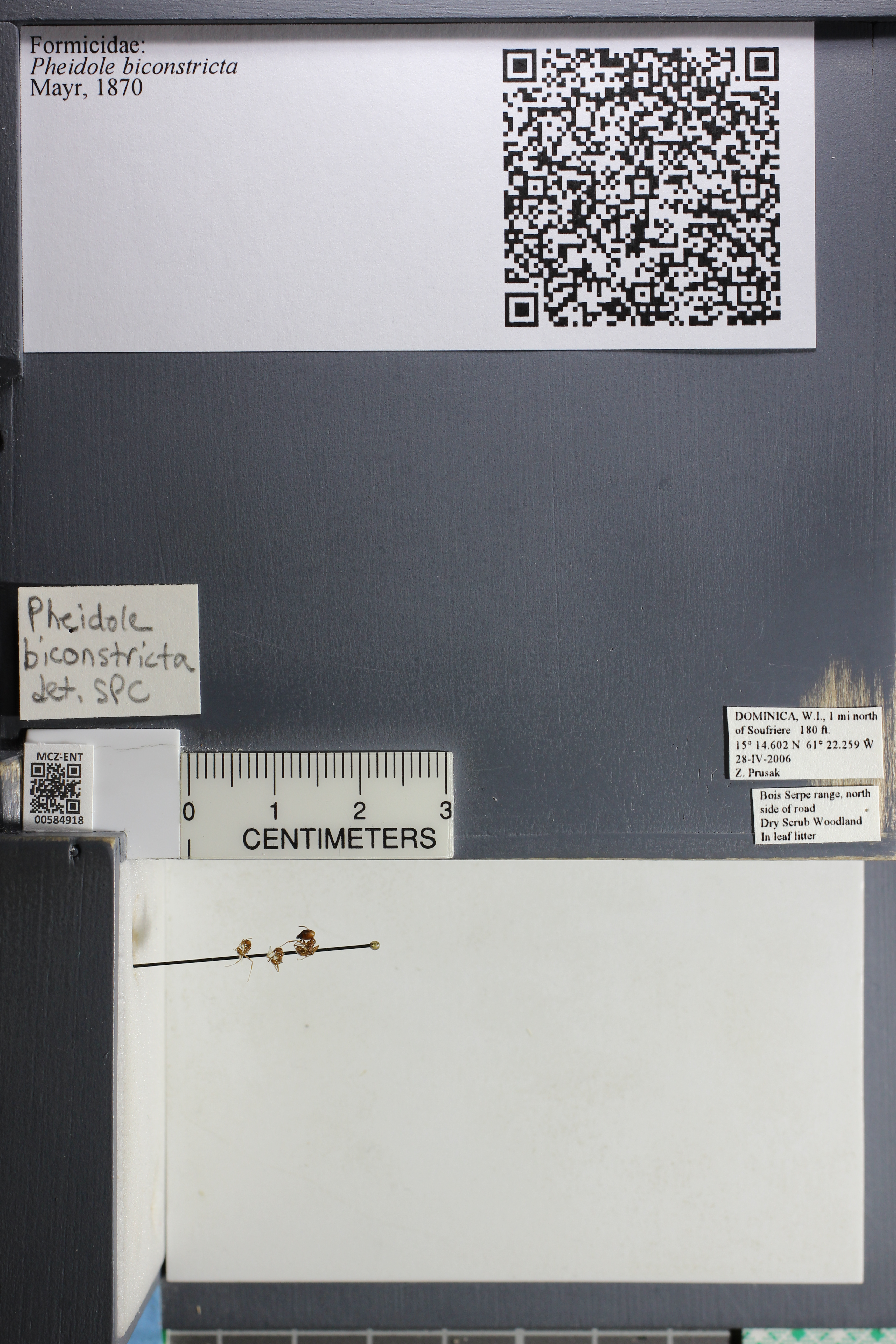Media of type image, MCZ:Ent:584918 Identified as Pheidole biconstricta.