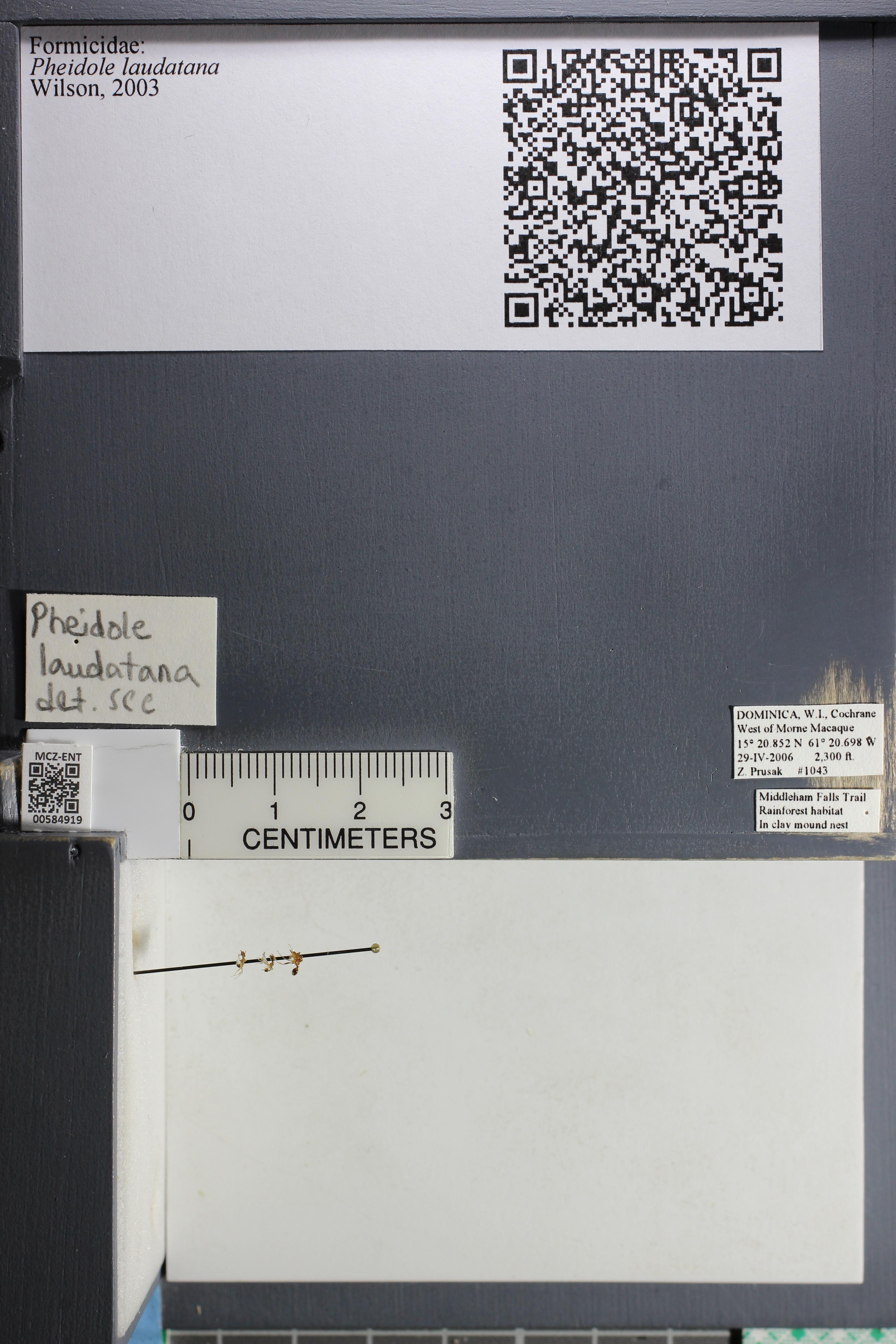 Media of type image, MCZ:Ent:584919 Identified as Pheidole laudatana.