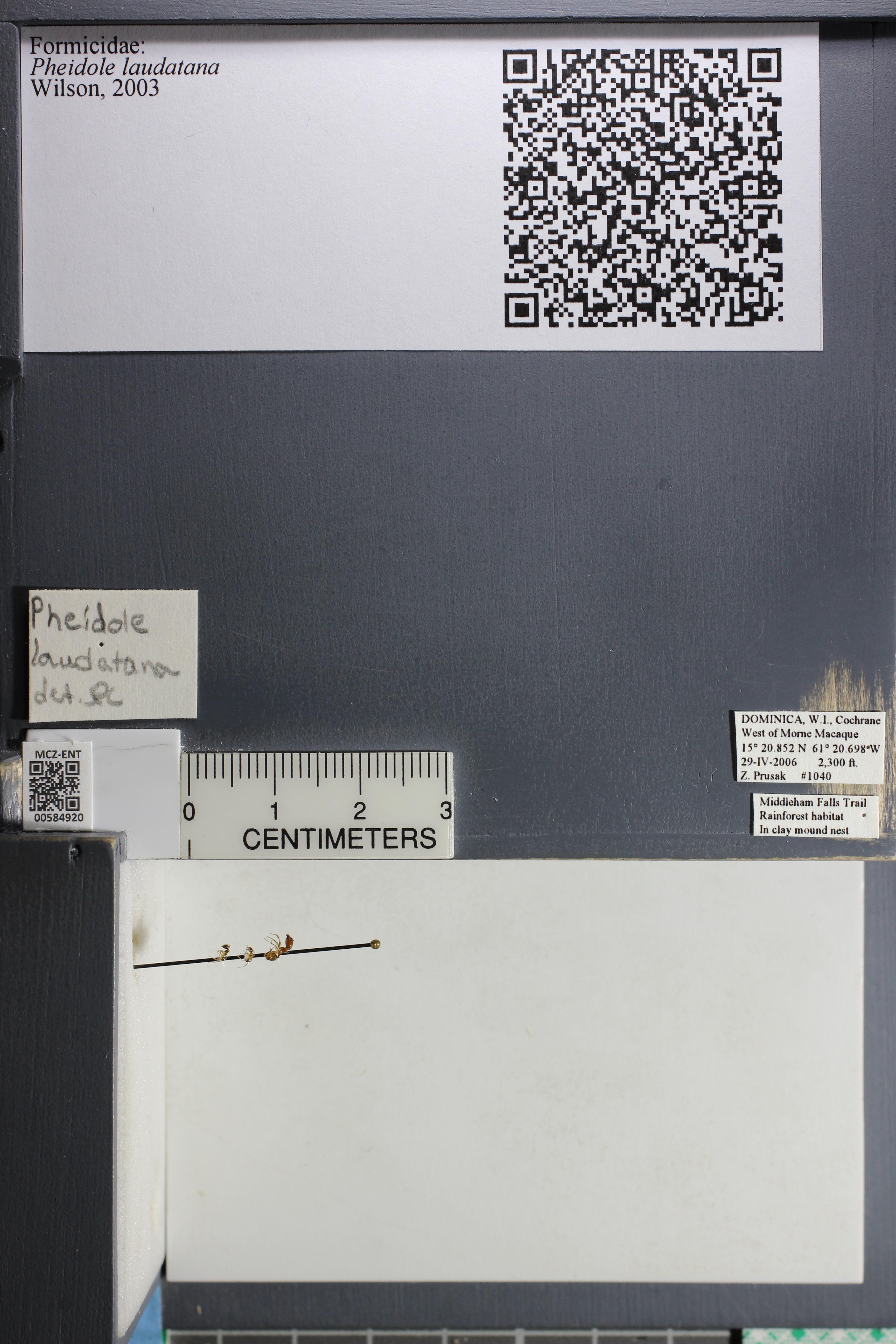 Media of type image, MCZ:Ent:584920 Identified as Pheidole laudatana.