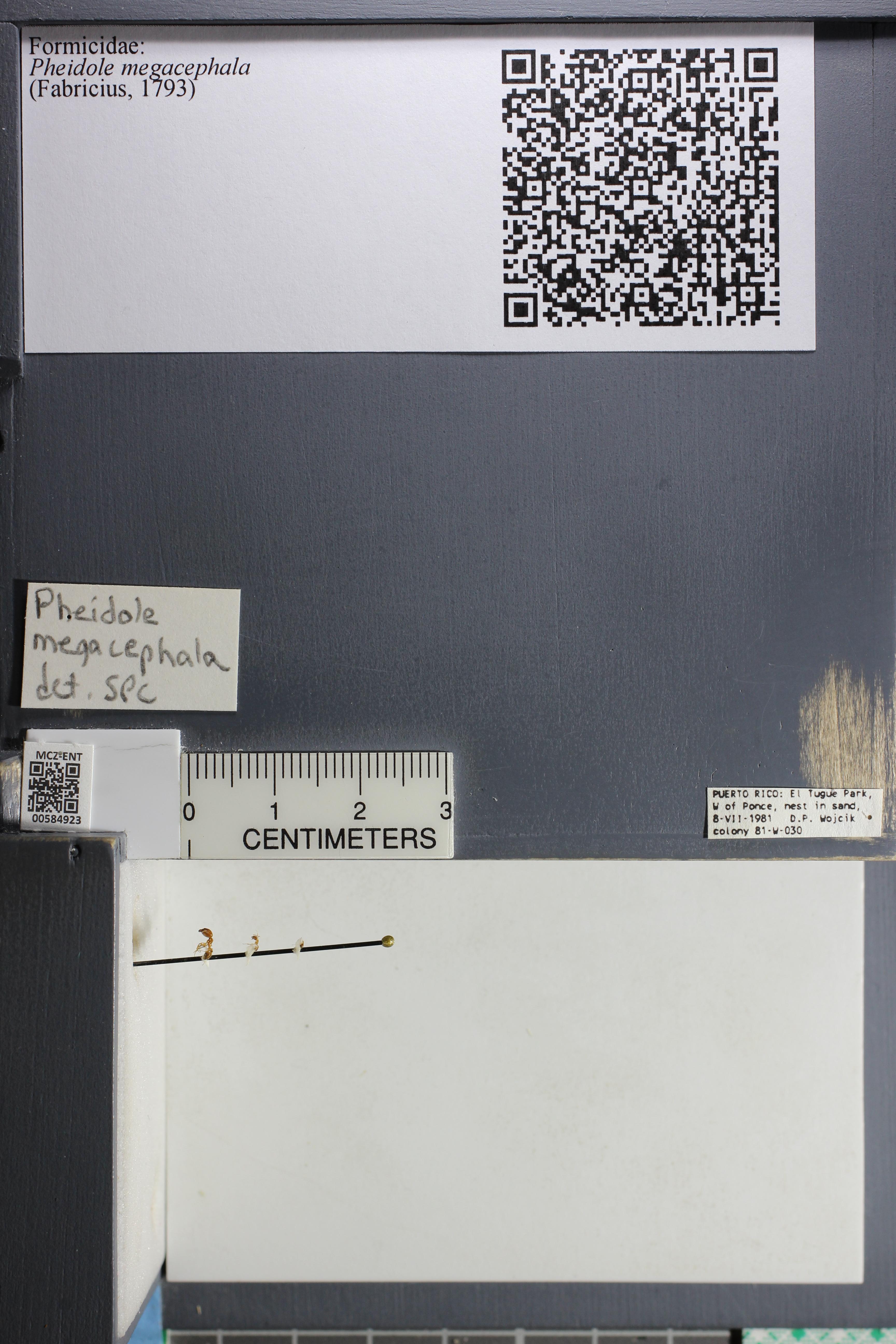 Media of type image, MCZ:Ent:584923 Identified as Pheidole megacephala.