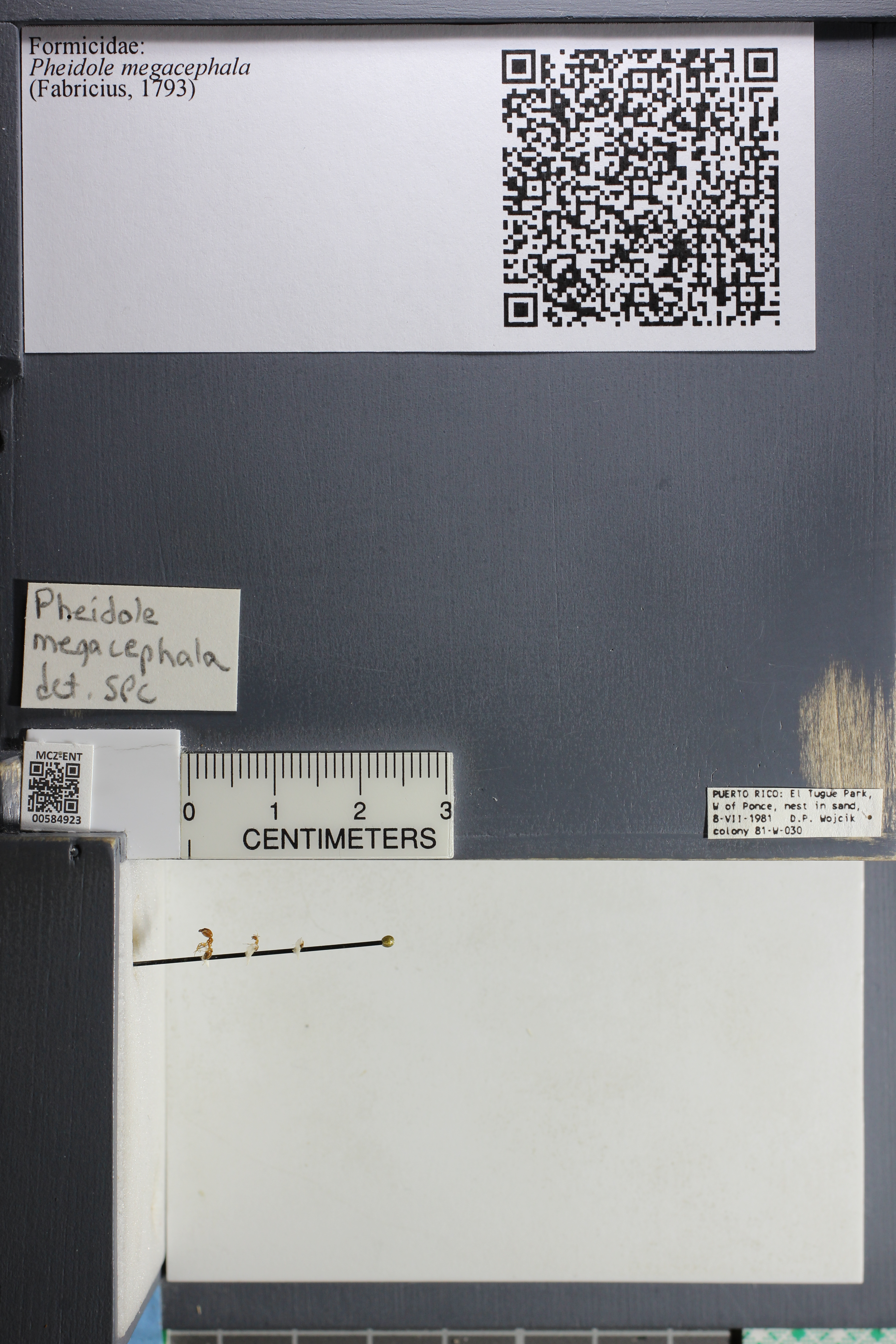 http://mczbase.mcz.harvard.edu/specimen_images/ent-formicidae/datashot/2015_10_27/IMG_339124.JPG
