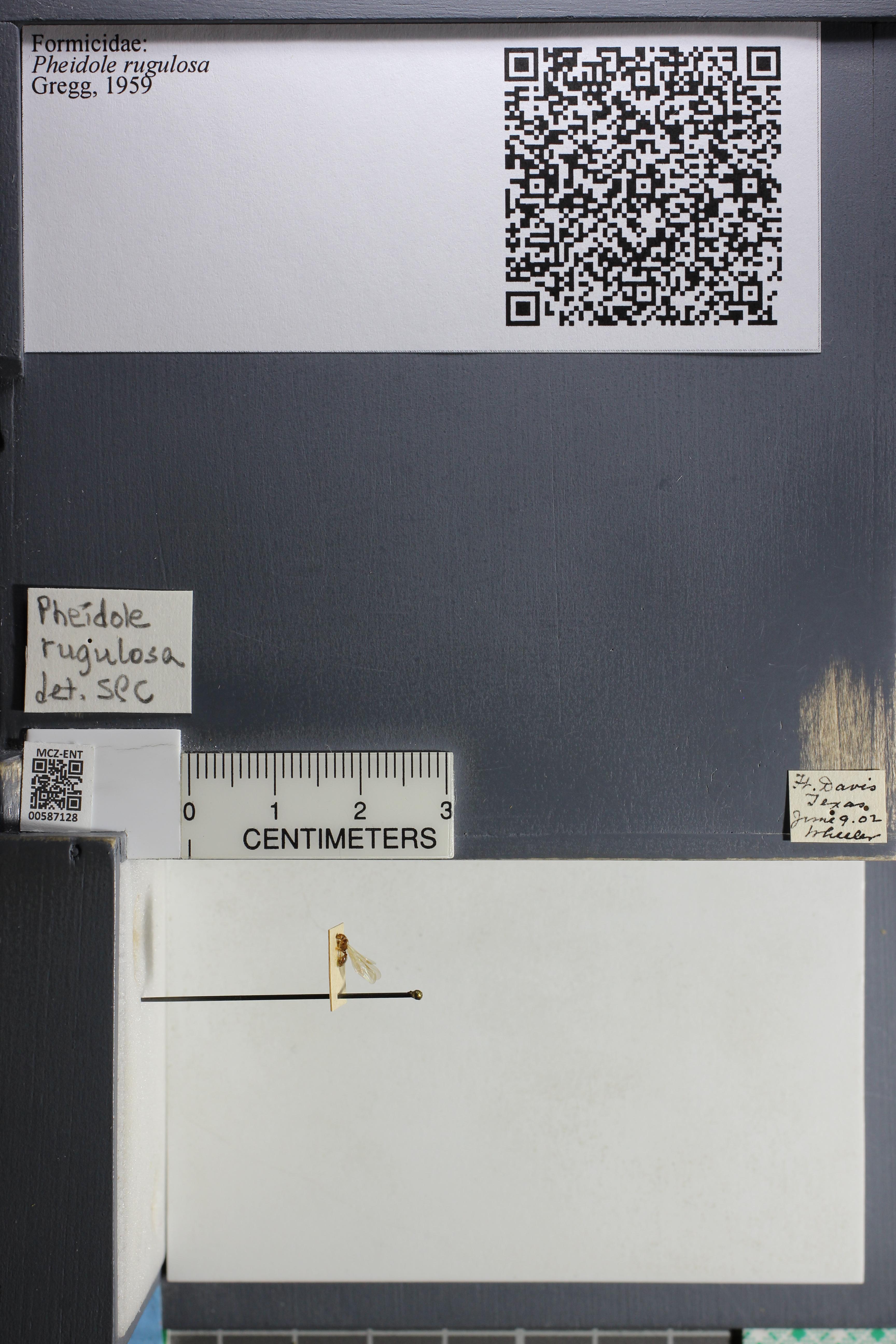 Media of type image, MCZ:Ent:587128 Identified as Pheidole rugulosa.