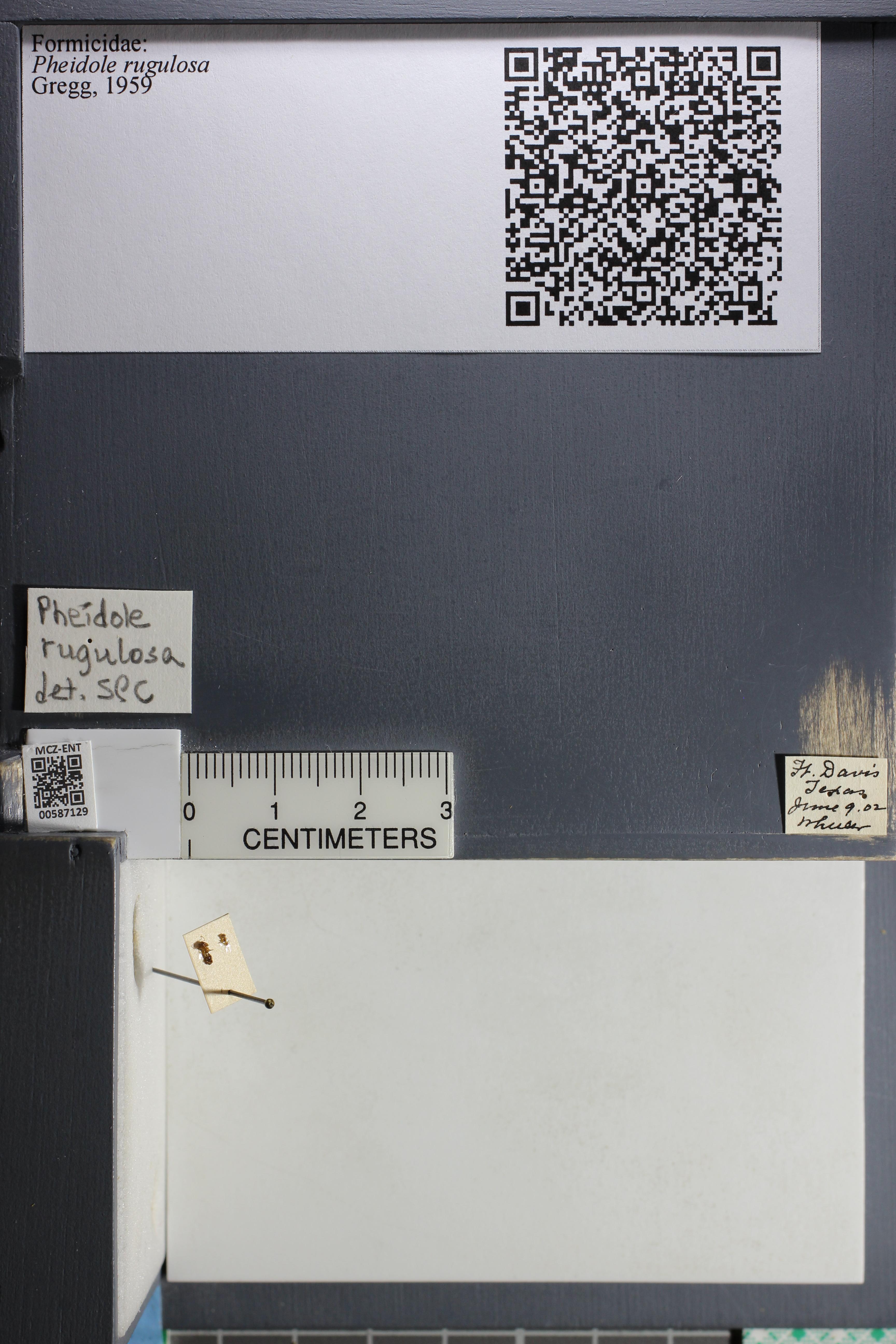 Media of type image, MCZ:Ent:587129 Identified as Pheidole rugulosa.