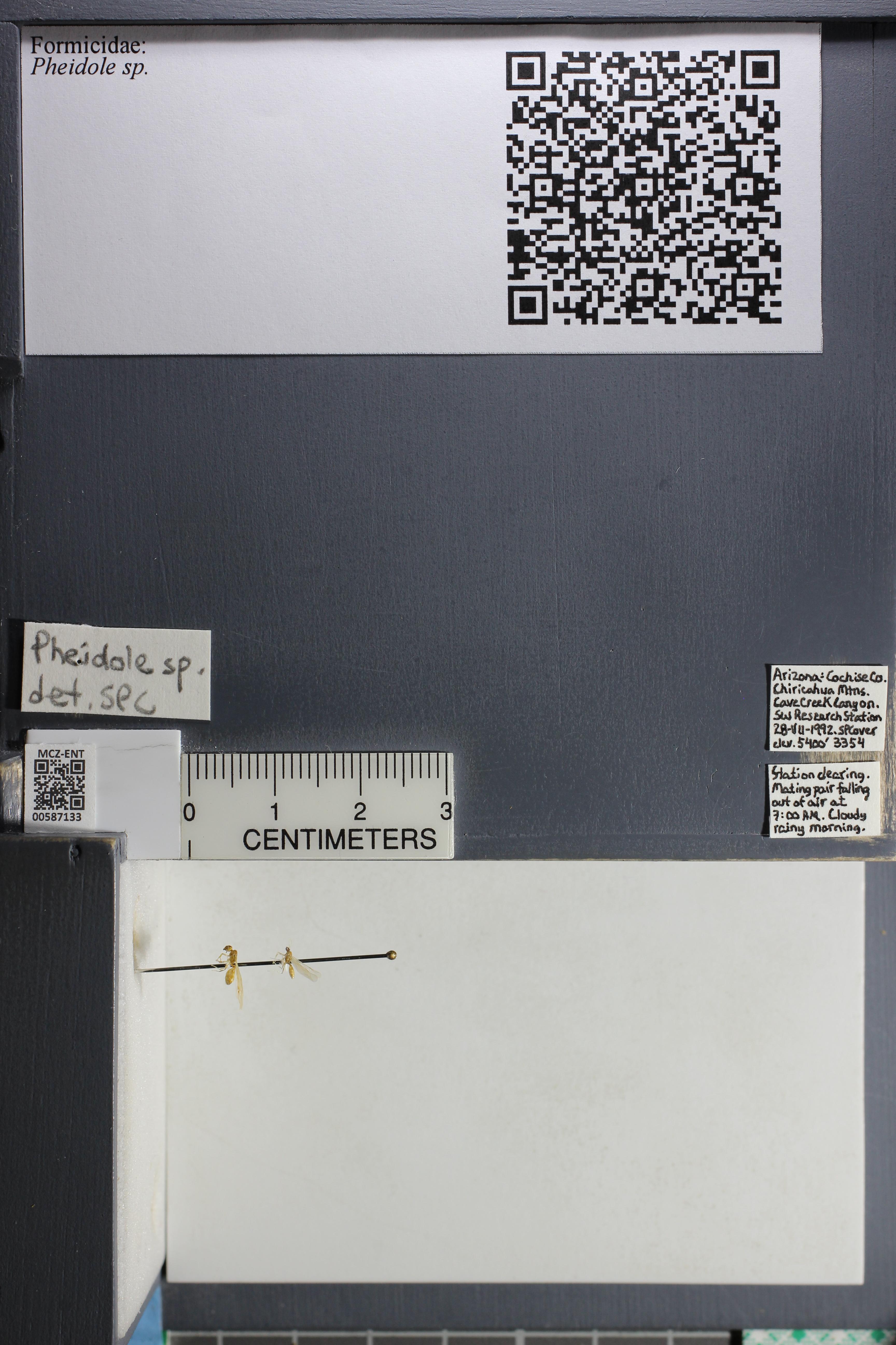 Media of type image, MCZ:Ent:587133 Identified as Pheidole tysoni.