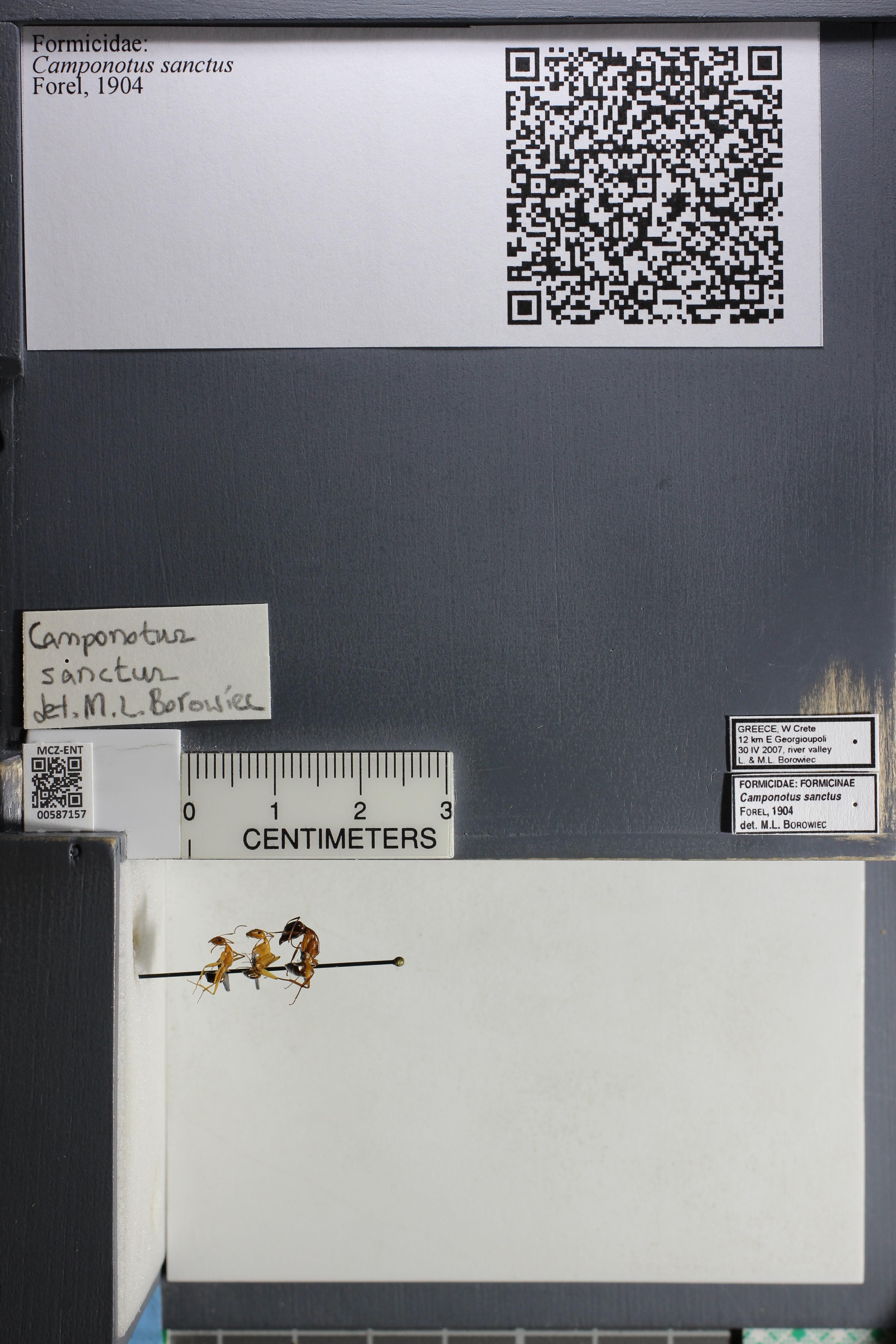 Image of Camponotus sanctus