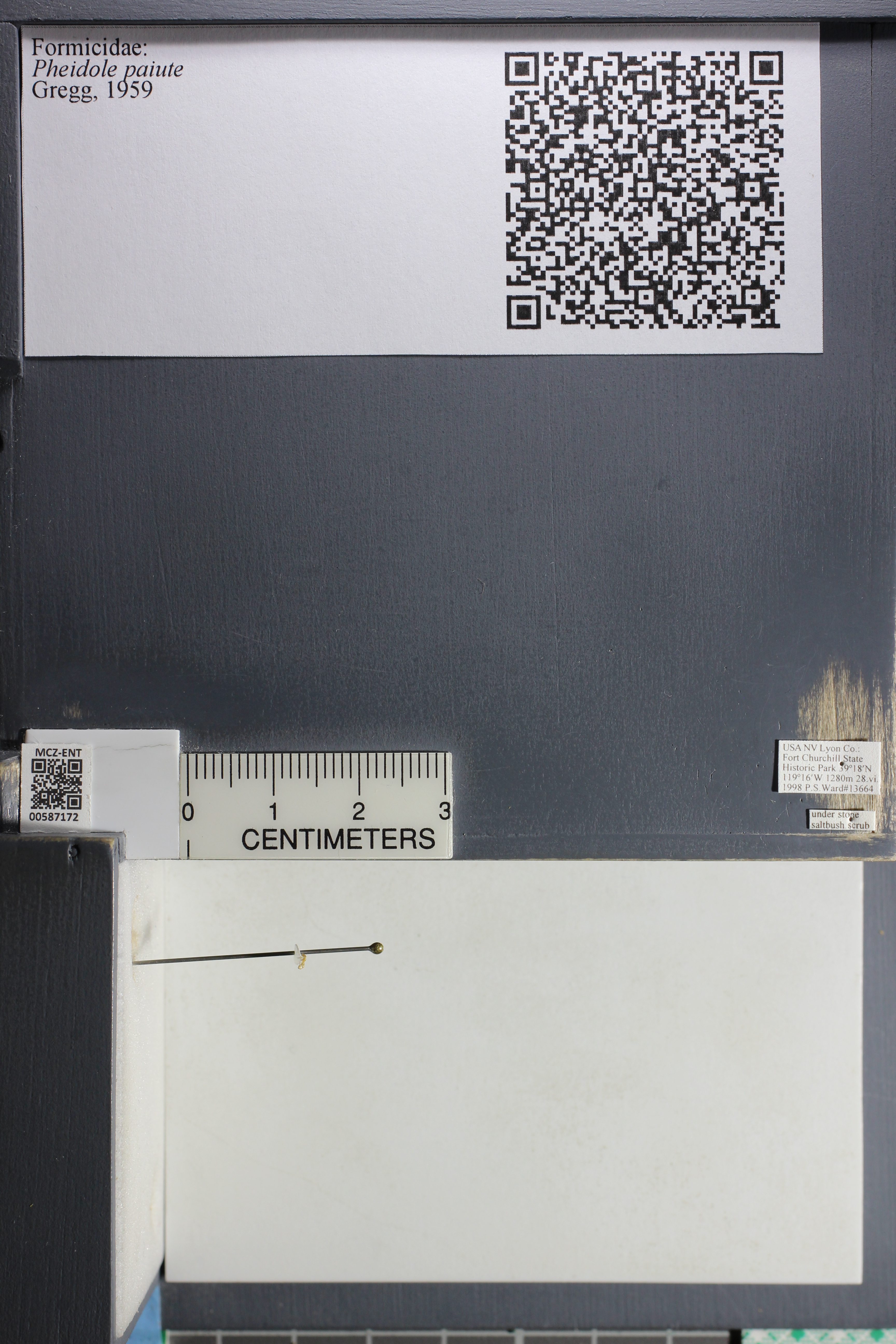 Media of type image, MCZ:Ent:587172 Identified as Pheidole paiute.