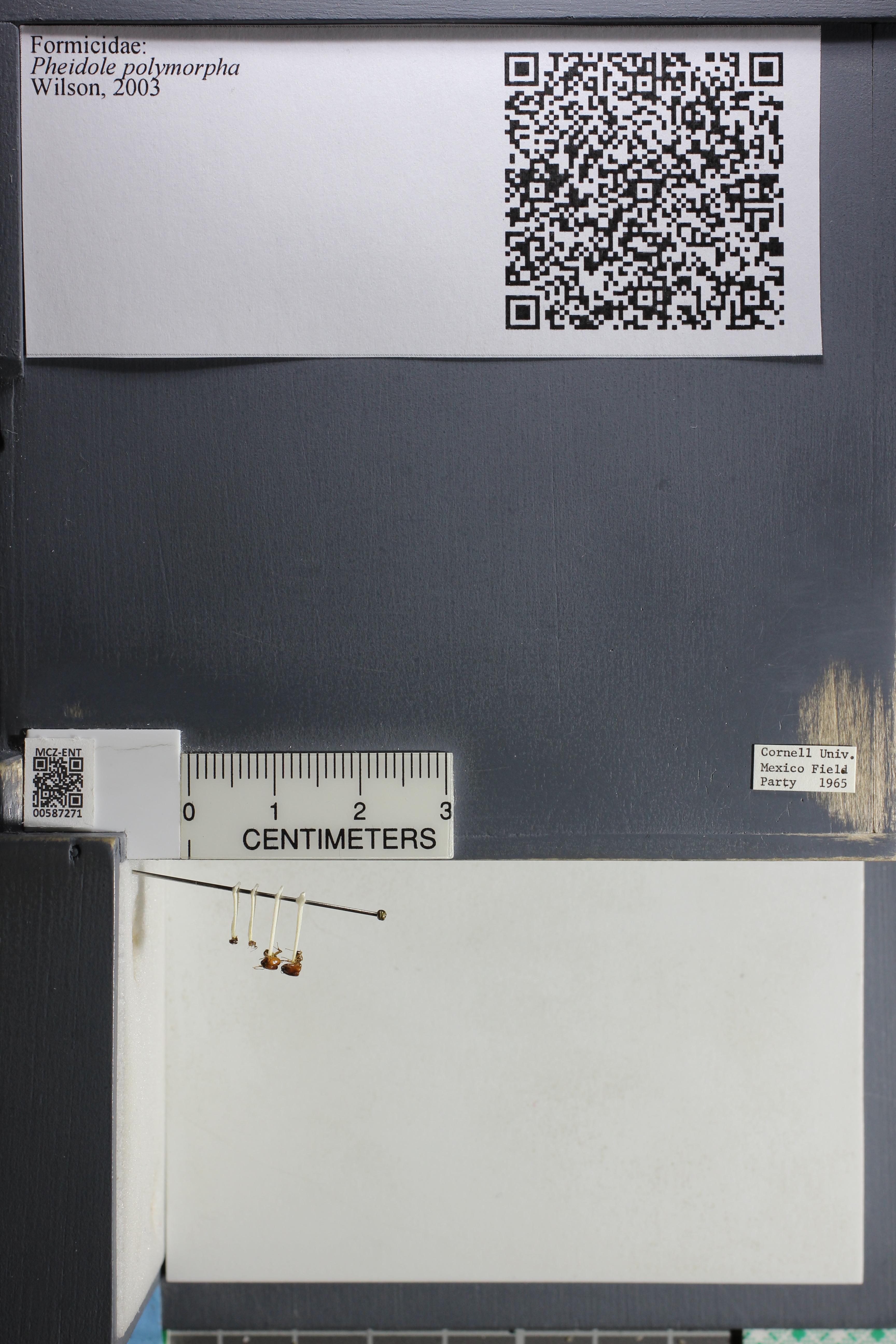 Media of type image, MCZ:Ent:587271 Identified as Pheidole polymorpha.