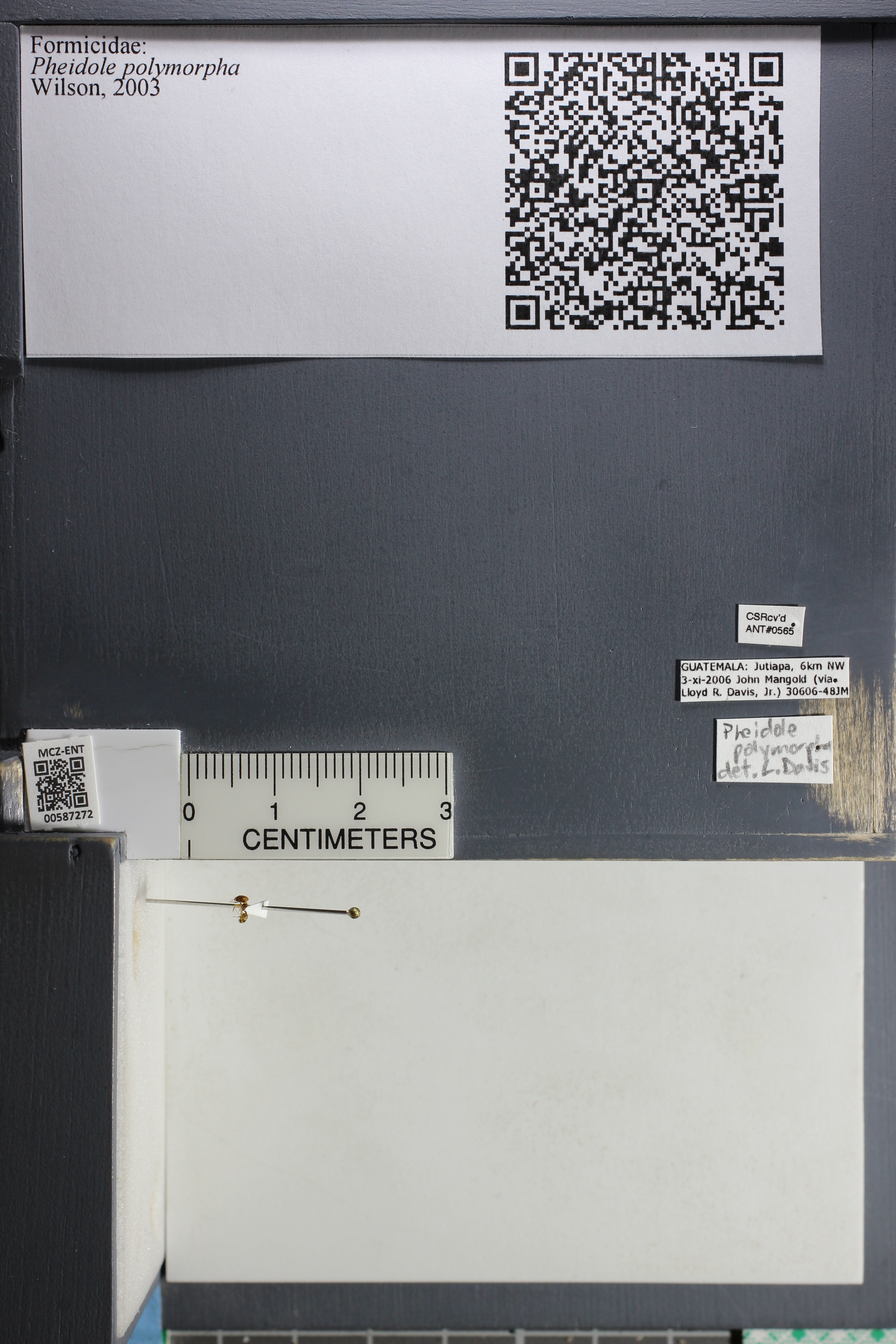 Media of type image, MCZ:Ent:587272 Identified as Pheidole polymorpha.