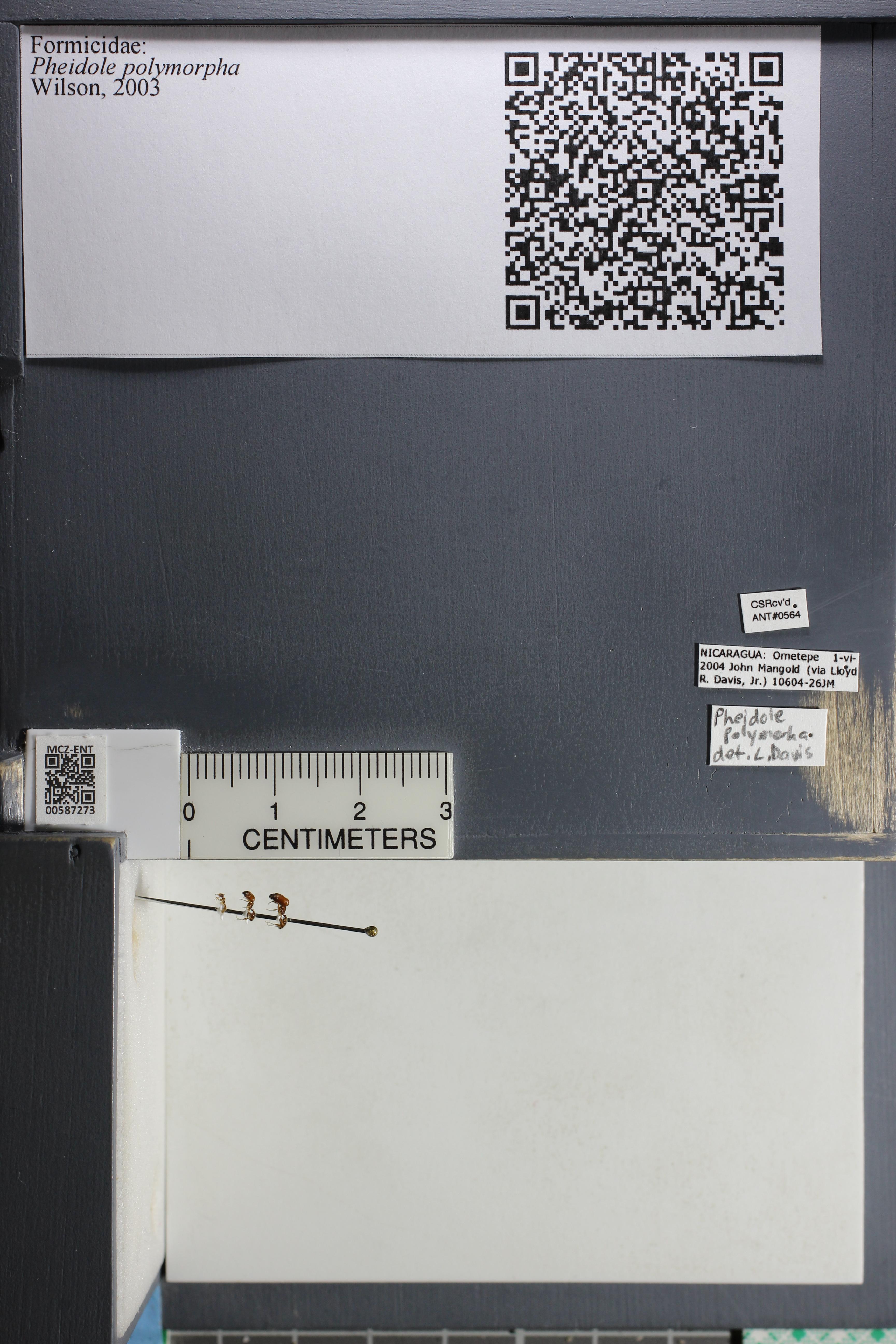 Media of type image, MCZ:Ent:587273 Identified as Pheidole polymorpha.