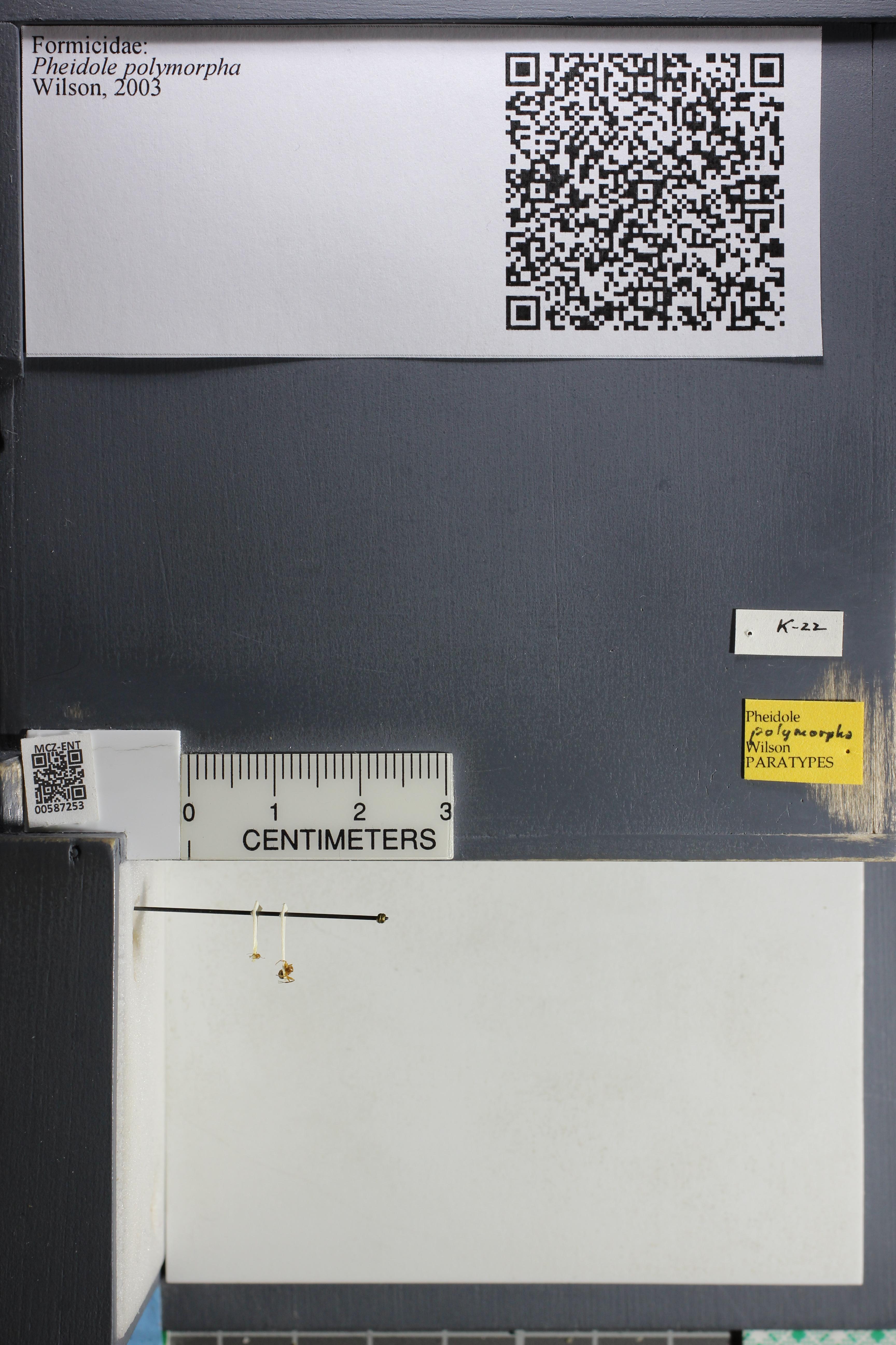 Media of type image, MCZ:Ent:587253 Identified as Pheidole polymorpha type status Paratype of Pheidole polymorpha.