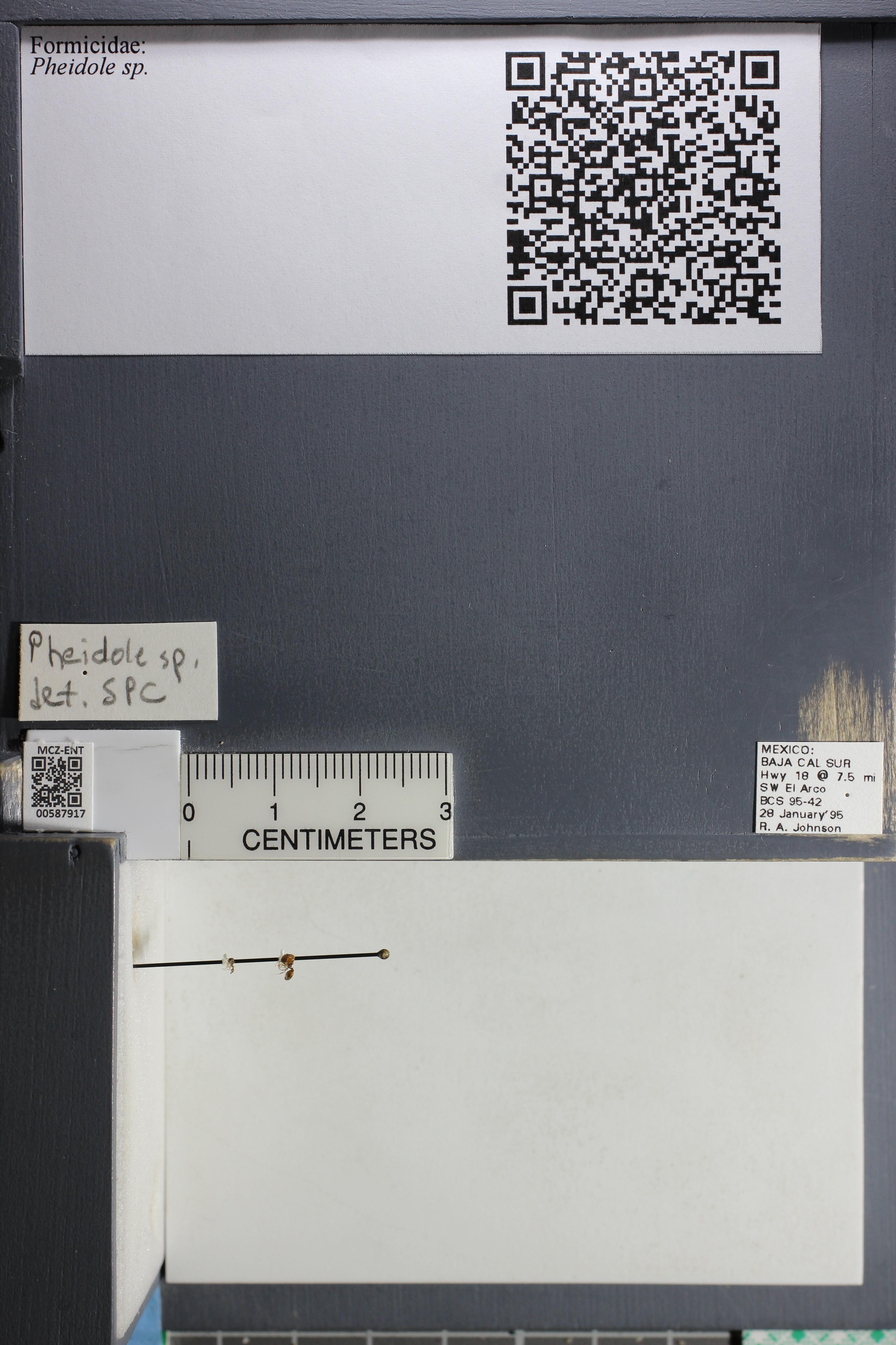 http://mczbase.mcz.harvard.edu/specimen_images/ent-formicidae/datashot/2015_11_19/IMG_340020.JPG