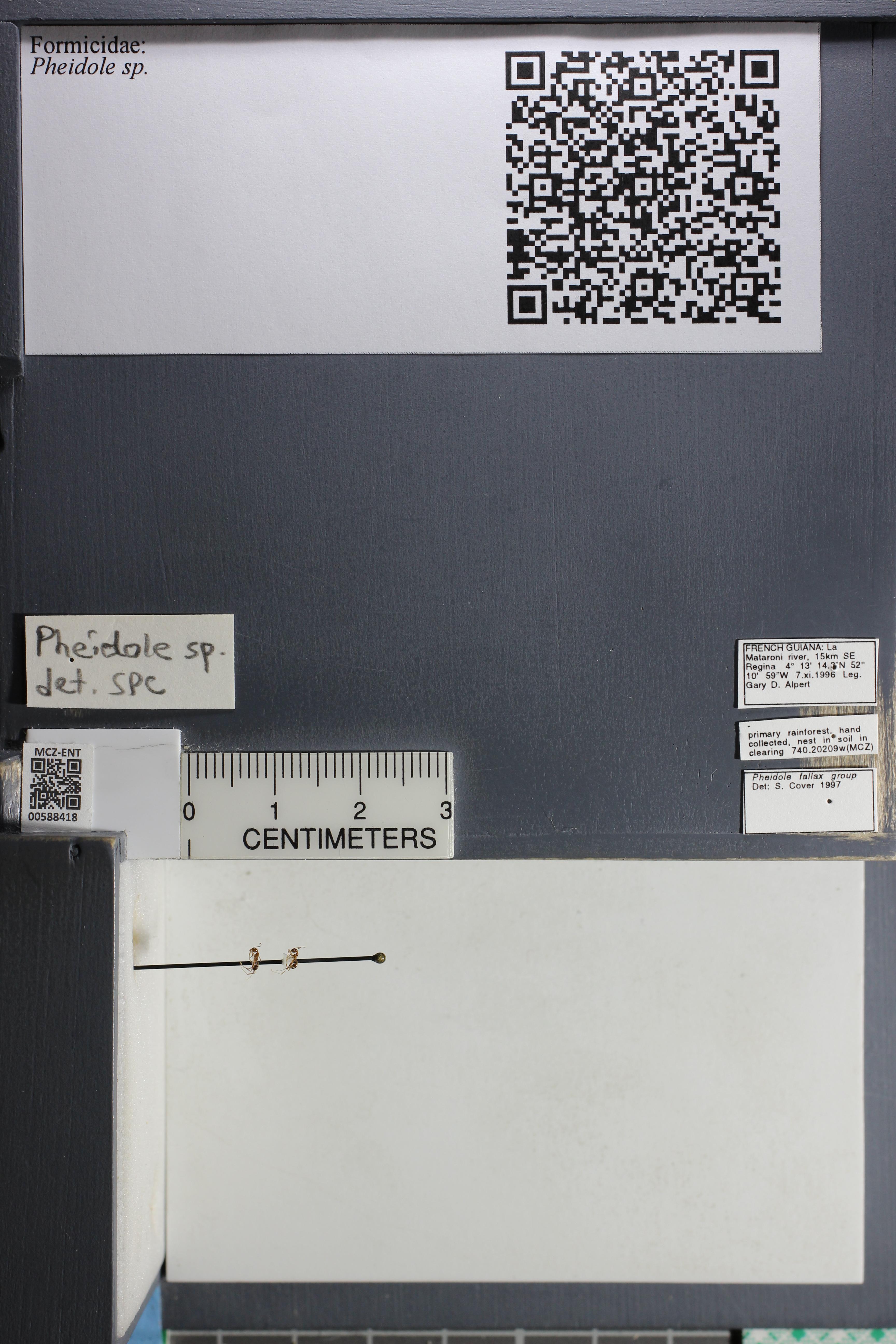 Media of type image, MCZ:Ent:588418 Identified as Pheidole sp..