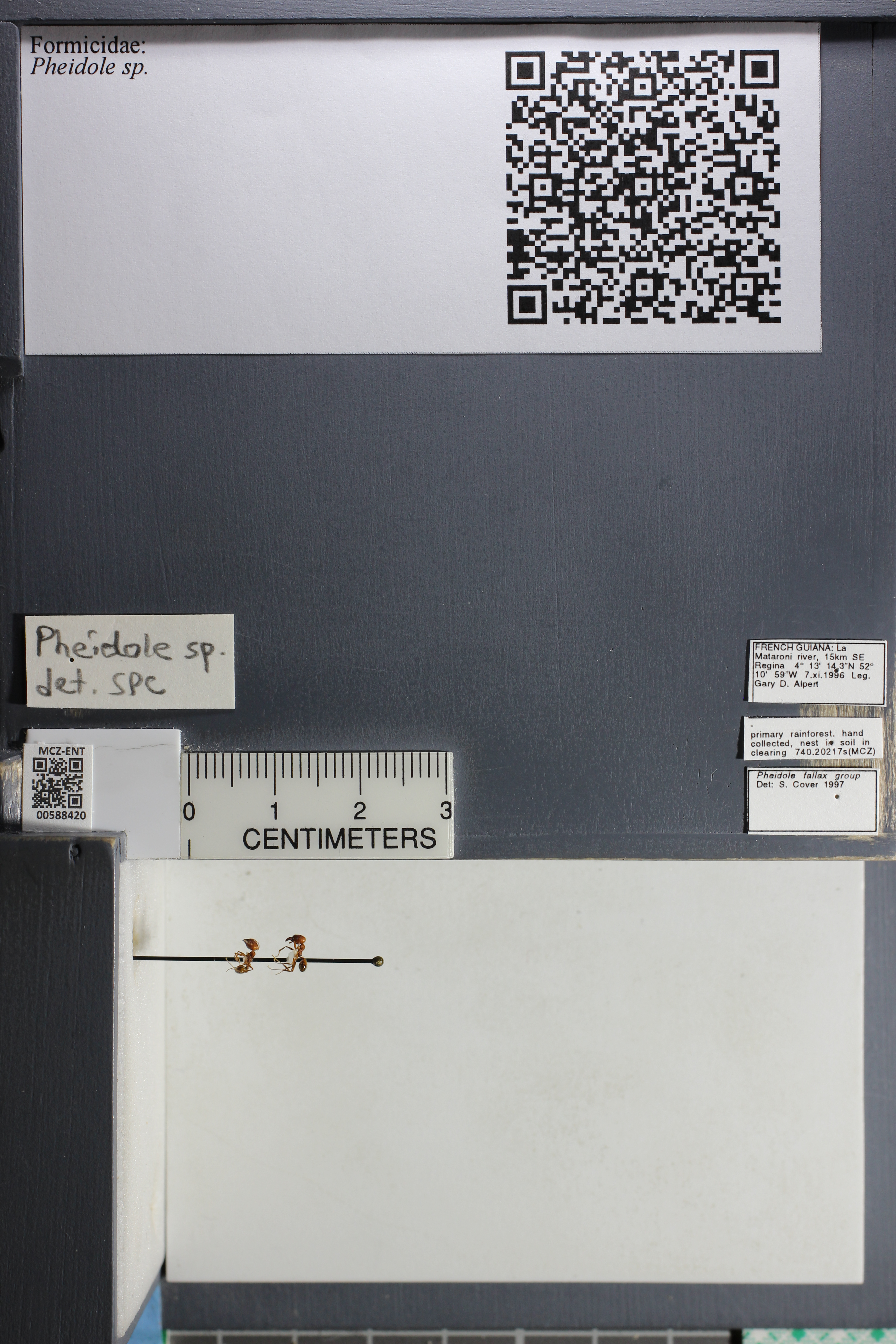 Media of type image, MCZ:Ent:588420 Identified as Pheidole sp..