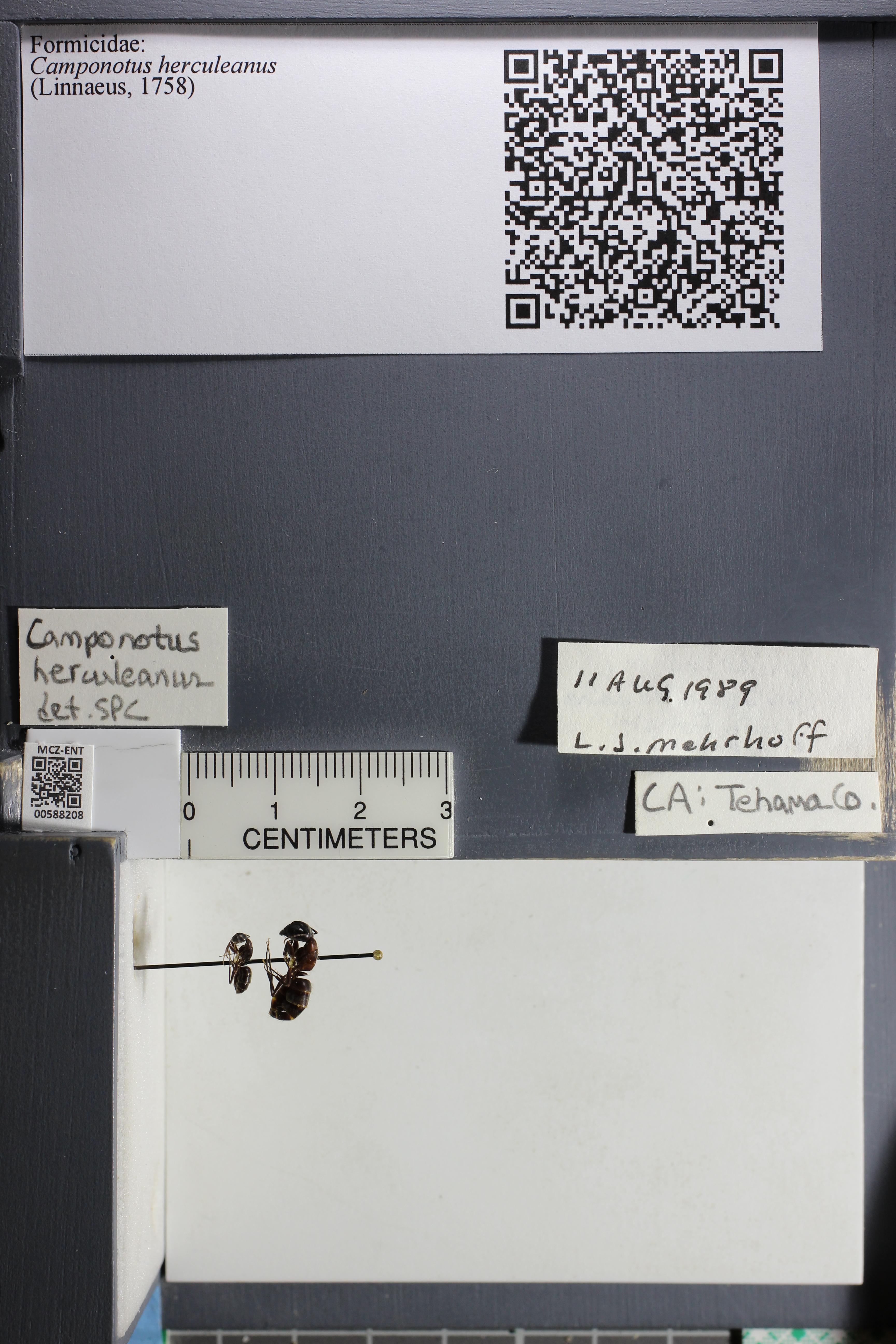 http://mczbase.mcz.harvard.edu/specimen_images/ent-formicidae/datashot/2015_11_20_DRAWER11/IMG_340122.JPG