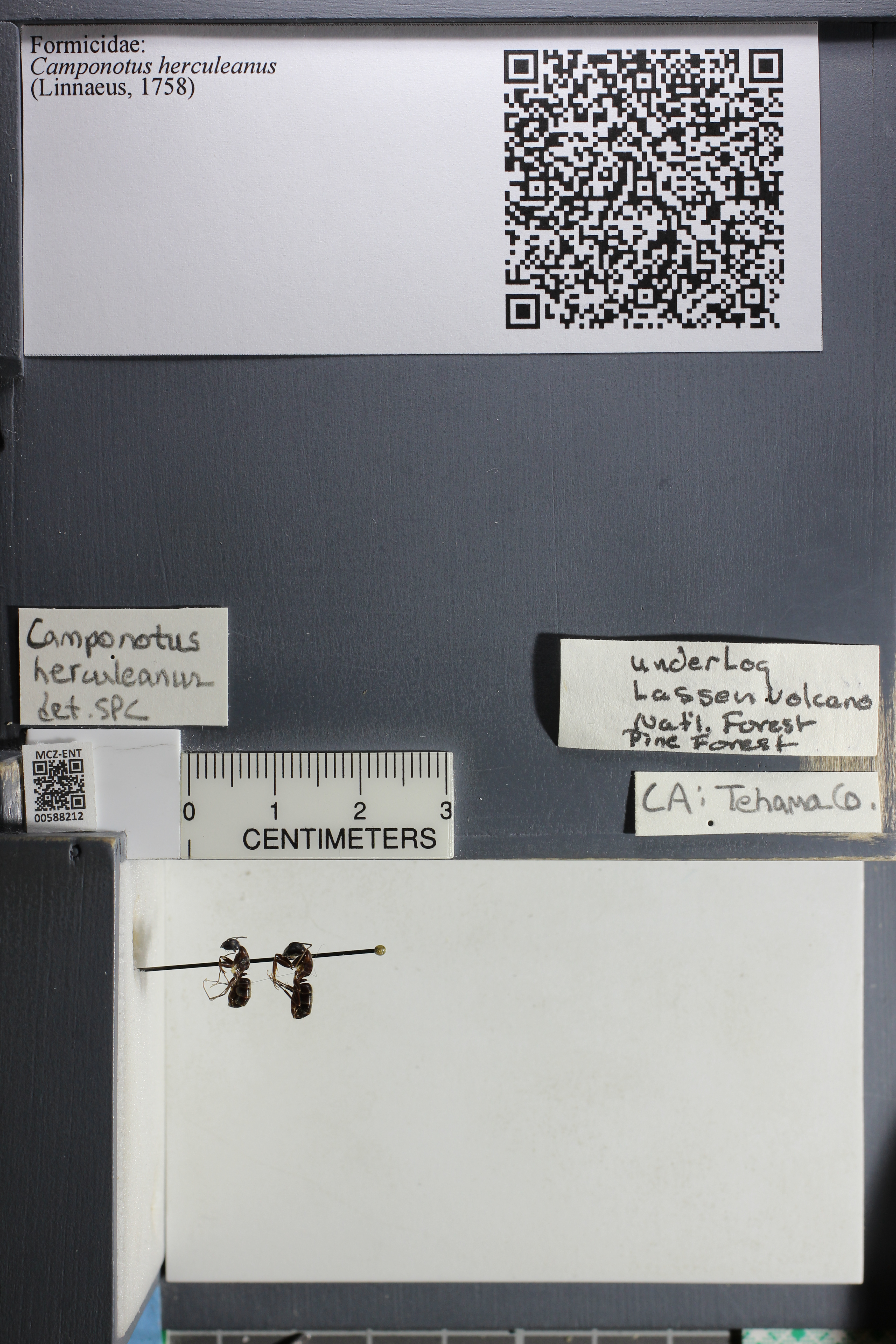 http://mczbase.mcz.harvard.edu/specimen_images/ent-formicidae/datashot/2015_11_20_DRAWER11/IMG_340131.JPG