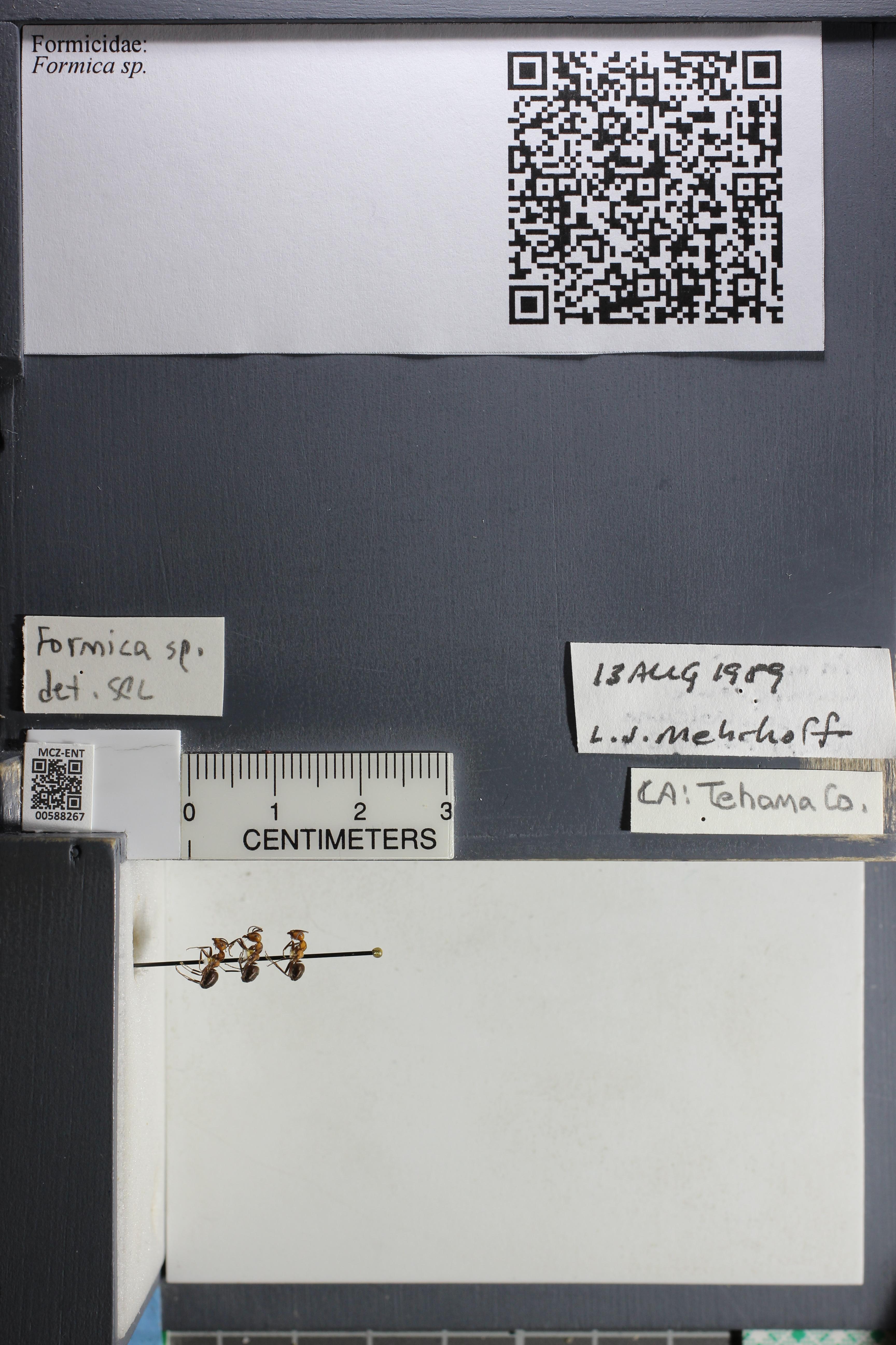 http://mczbase.mcz.harvard.edu/specimen_images/ent-formicidae/datashot/2015_11_20_DRAWER11/IMG_340189.JPG