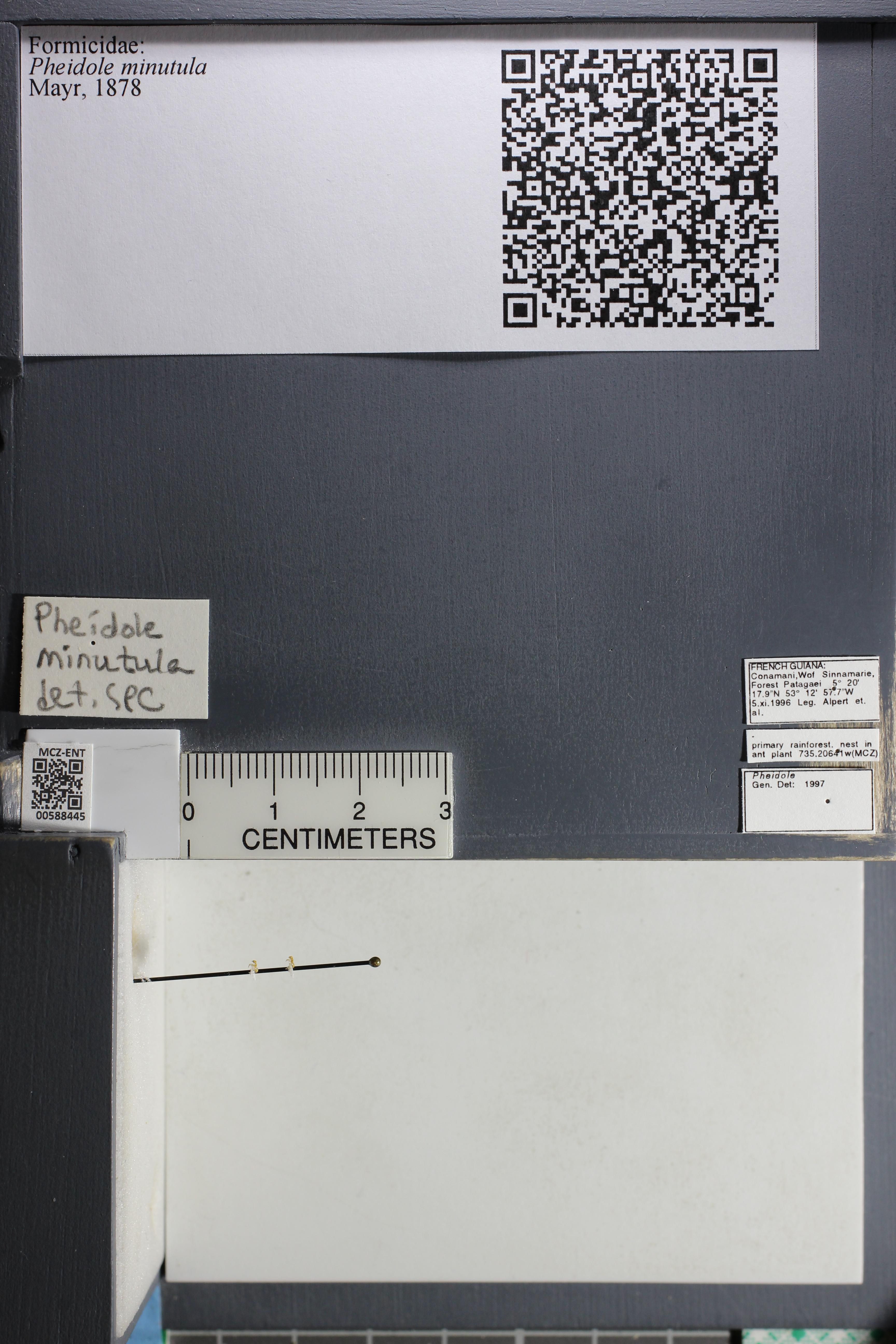 Media of type image, MCZ:Ent:588445 Identified as Pheidole minutula.