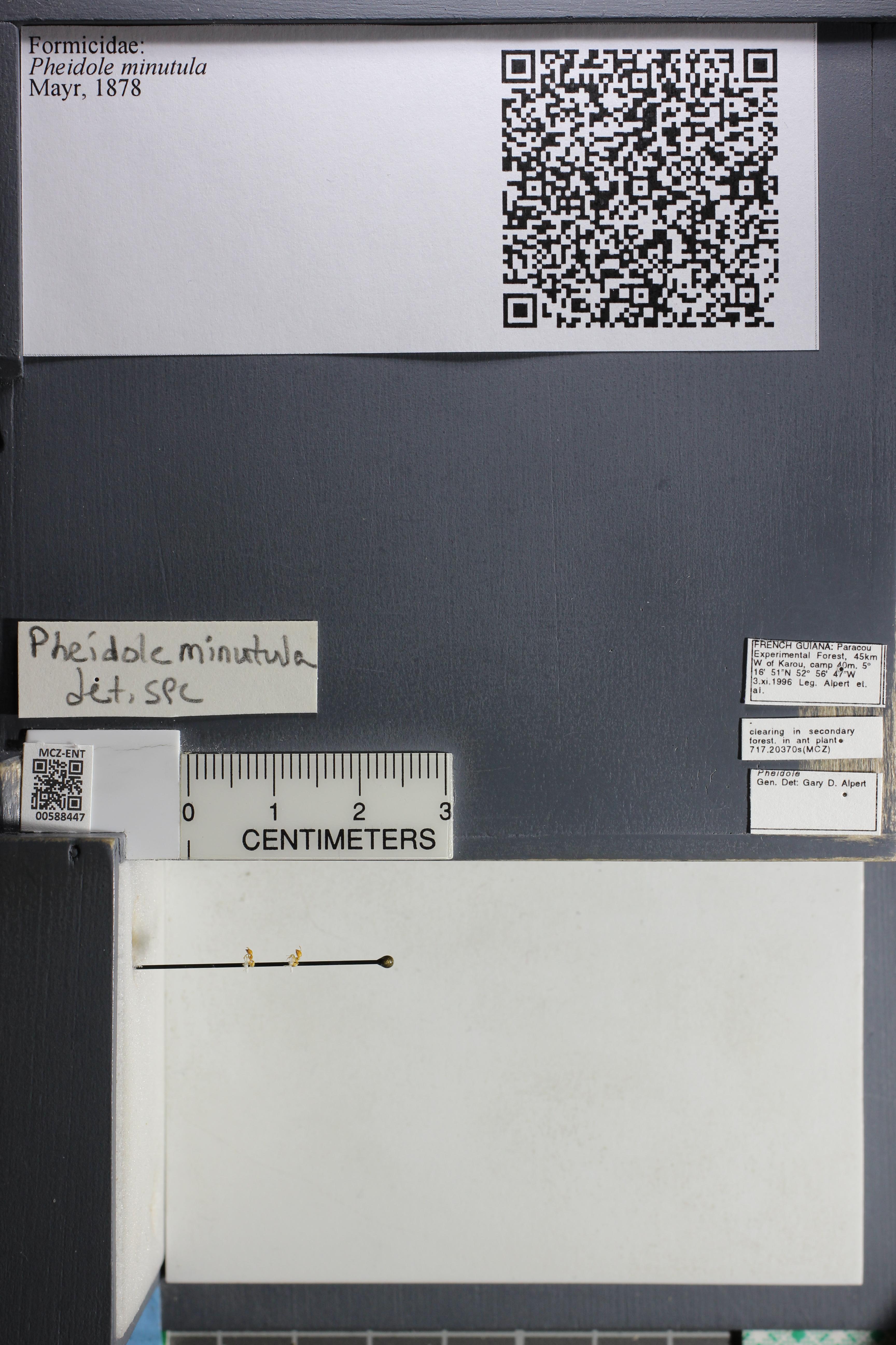Media of type image, MCZ:Ent:588447 Identified as Pheidole minutula.