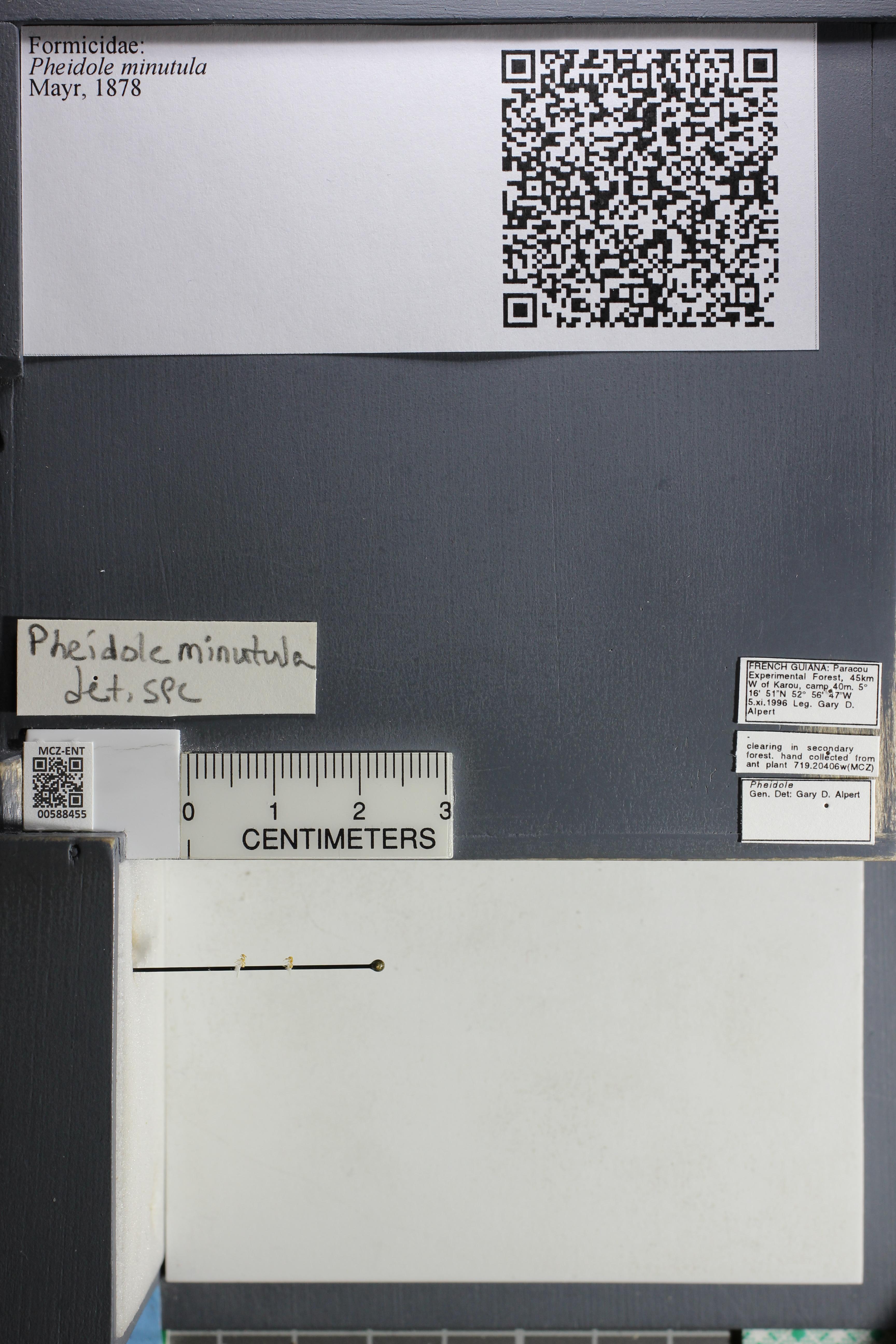 Media of type image, MCZ:Ent:588455 Identified as Pheidole minutula.