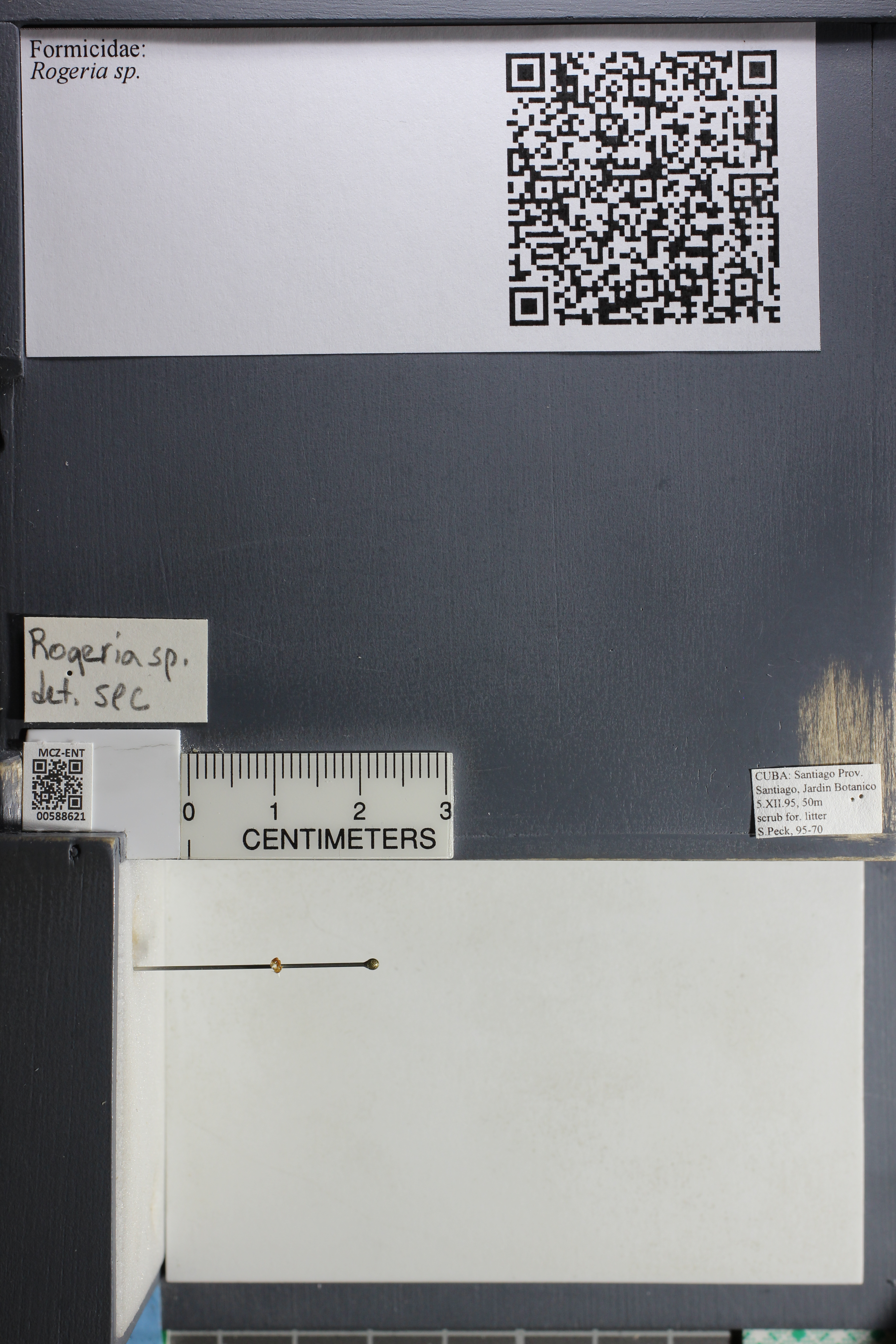 Media of type image, shows cataloged_item. MCZ:Ent:588621 Identified as Rogeria sp..