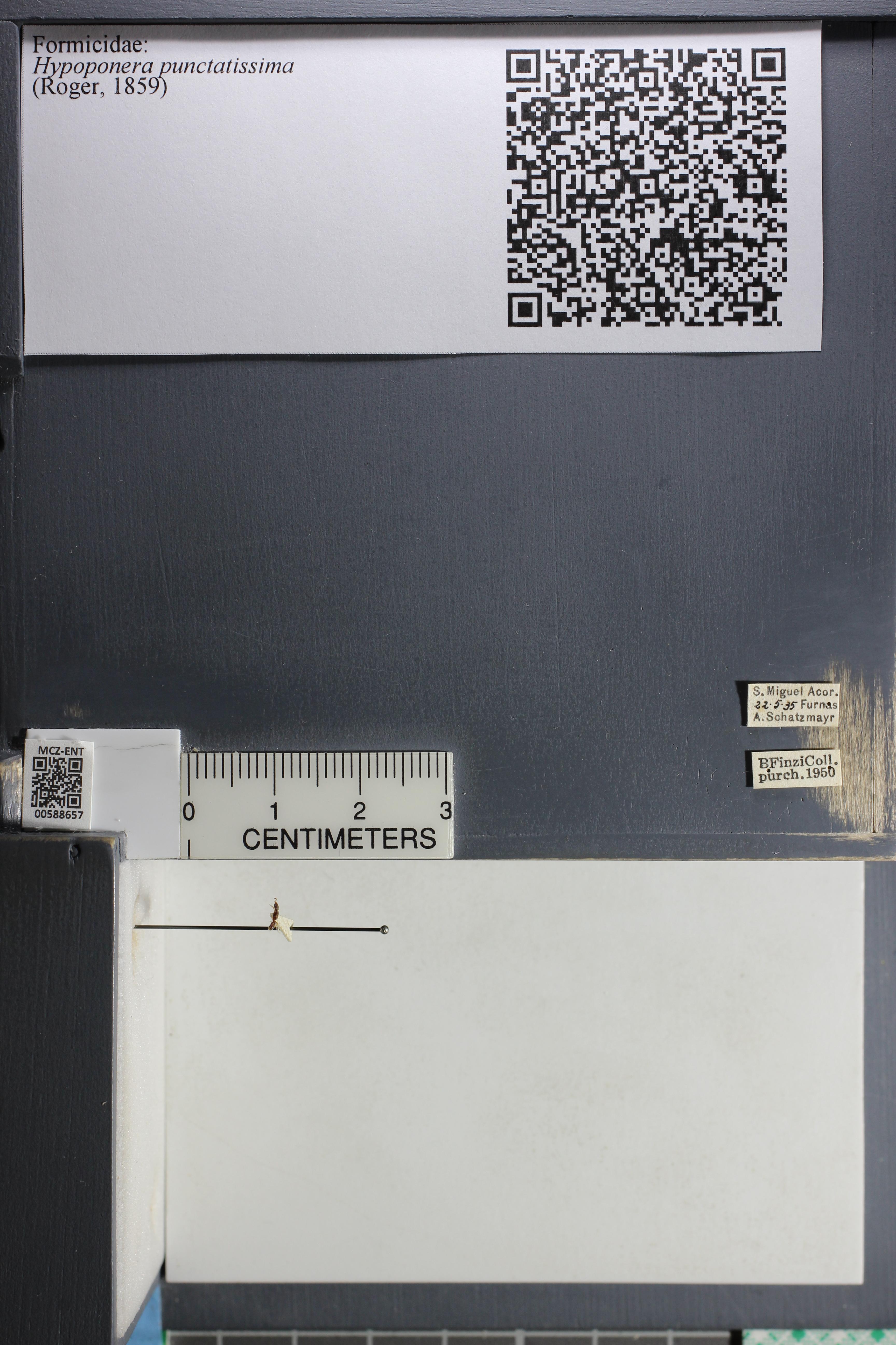 Media of type image, shows cataloged_item. MCZ:Ent:588657 Identified as Hypoponera punctatissima.