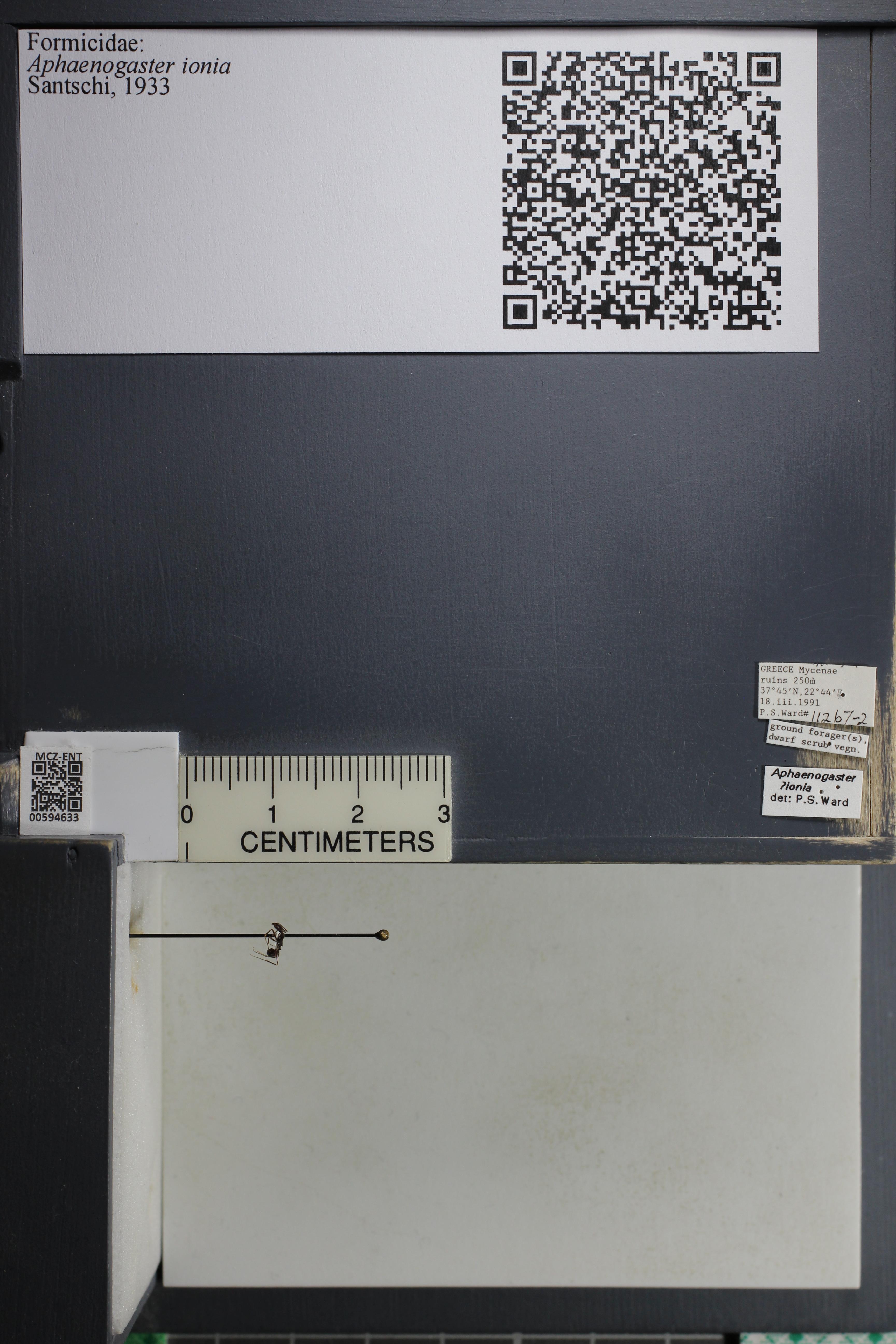 Image of Aphaenogaster ionia