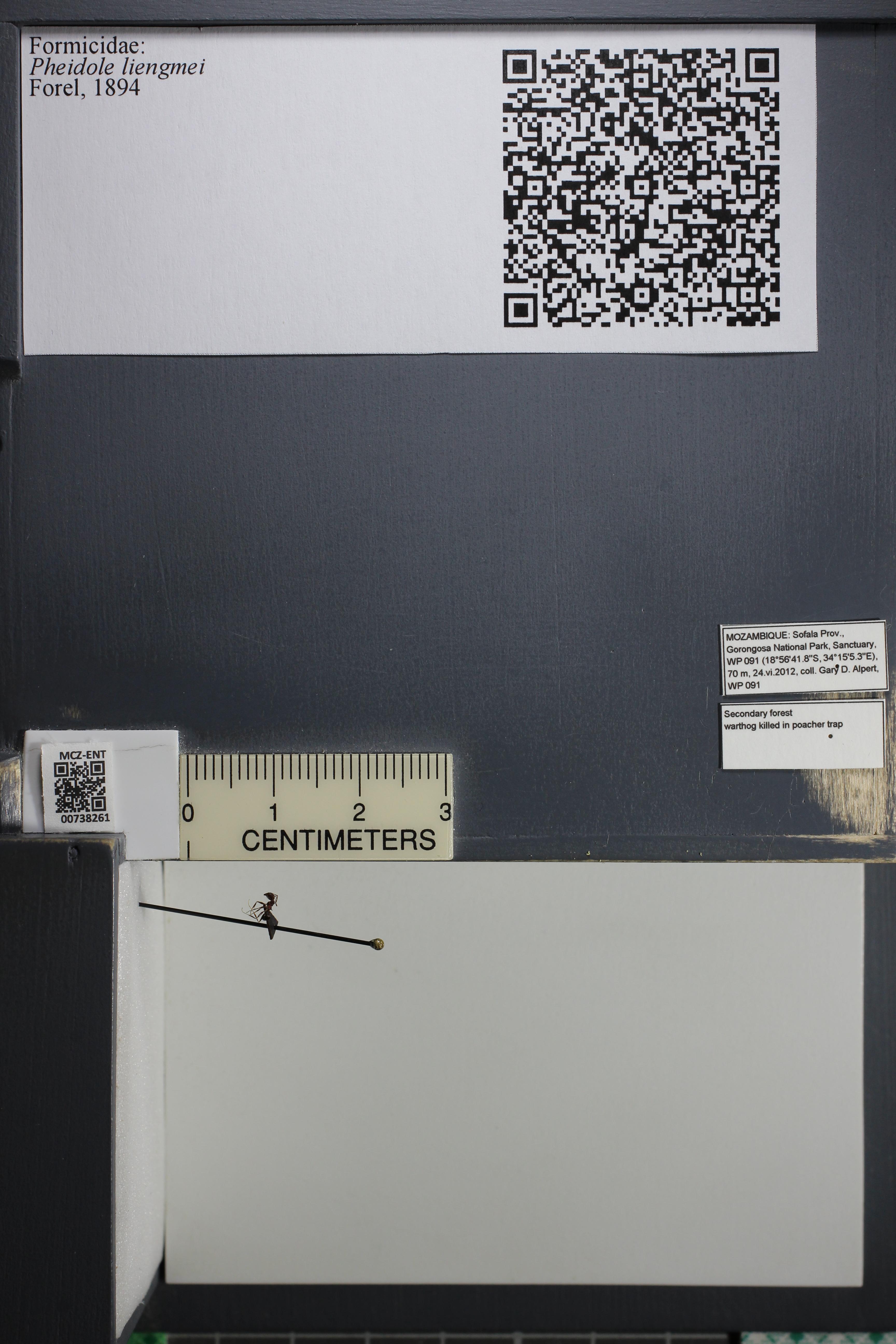 Media of type image, MCZ:Ent:738261 Identified as Pheidole liengmei.