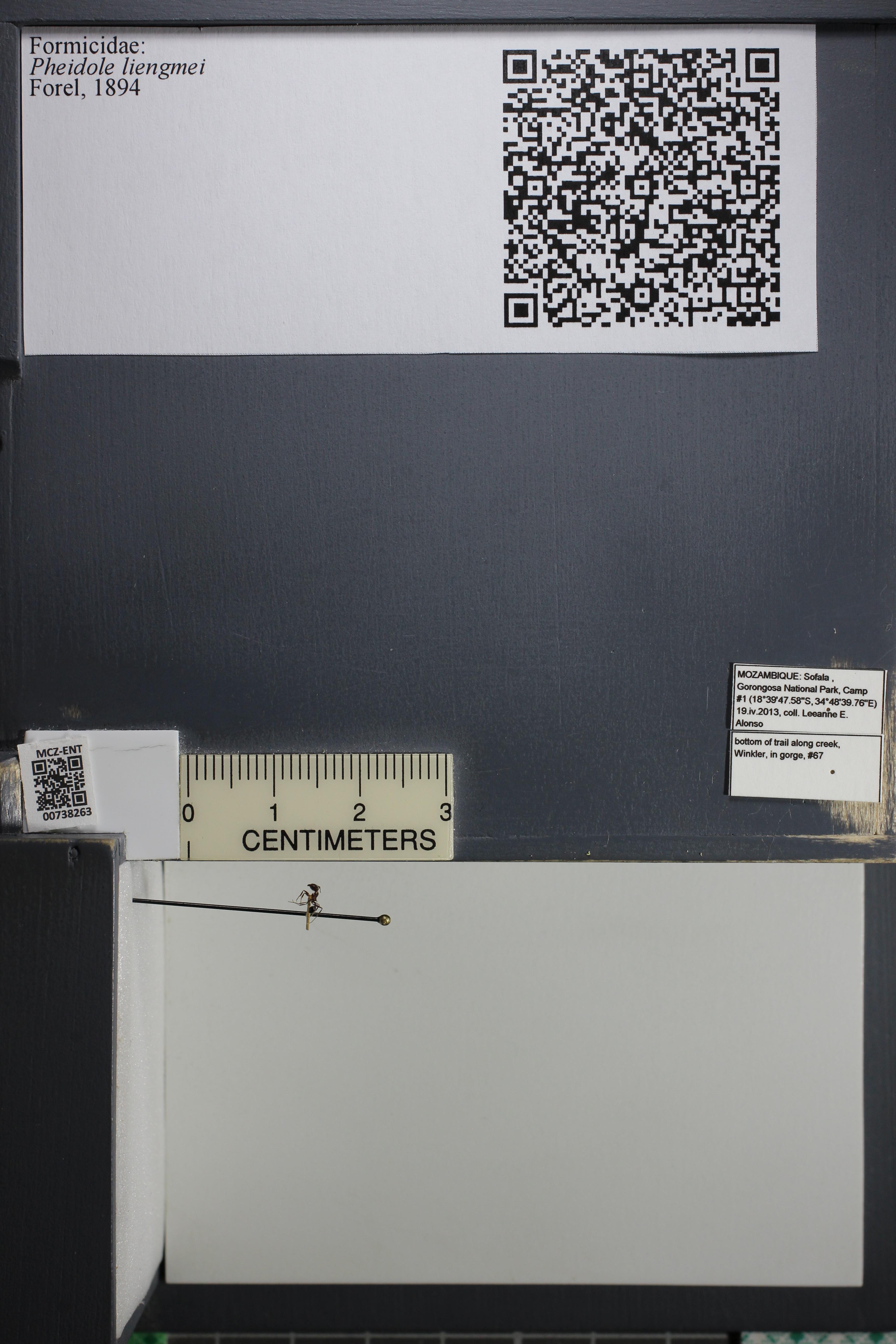 Media of type image, MCZ:Ent:738263 Identified as Pheidole liengmei.