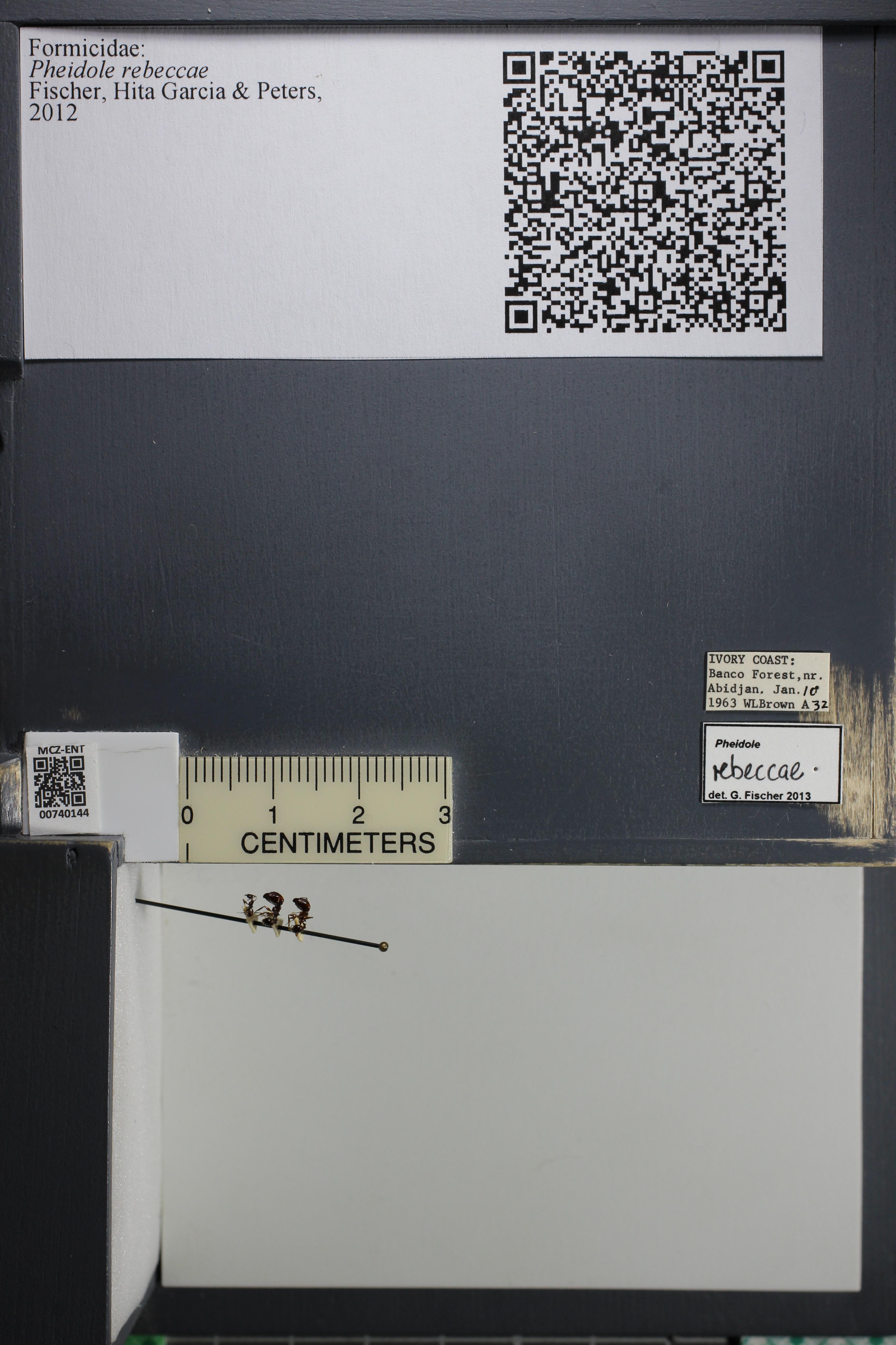 Media of type image, MCZ:Ent:740144 Identified as Pheidole rebeccae.