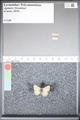 http://mczbase.mcz.harvard.edu/specimen_images/ent-lepidoptera/images/2009_05_06/IMG_002096.JPG
