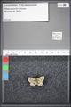 http://mczbase.mcz.harvard.edu/specimen_images/ent-lepidoptera/images/2009_05_08/IMG_002377.JPG