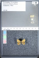 http://mczbase.mcz.harvard.edu/specimen_images/ent-lepidoptera/images/2009_08_24/IMG_016146.JPG