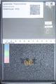 http://mczbase.mcz.harvard.edu/specimen_images/ent-lepidoptera/images/2009_08_31/IMG_016819.JPG