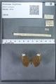http://mczbase.mcz.harvard.edu/specimen_images/ent-lepidoptera/images/2009_12_16/IMG_027153.JPG